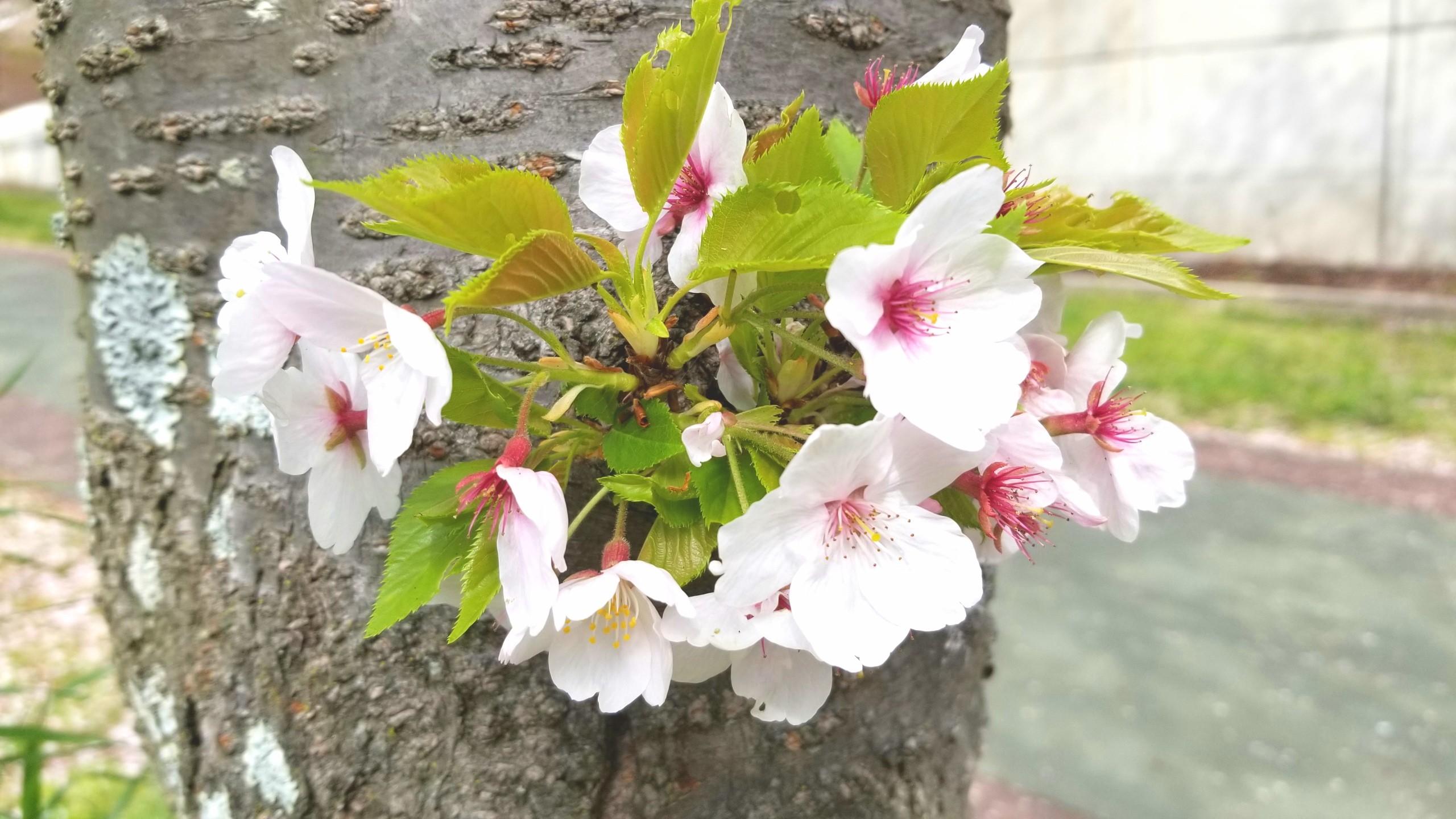 お花見近く遊び桜並木遅い,公園散歩人気スポットおすすめ,ピクニック