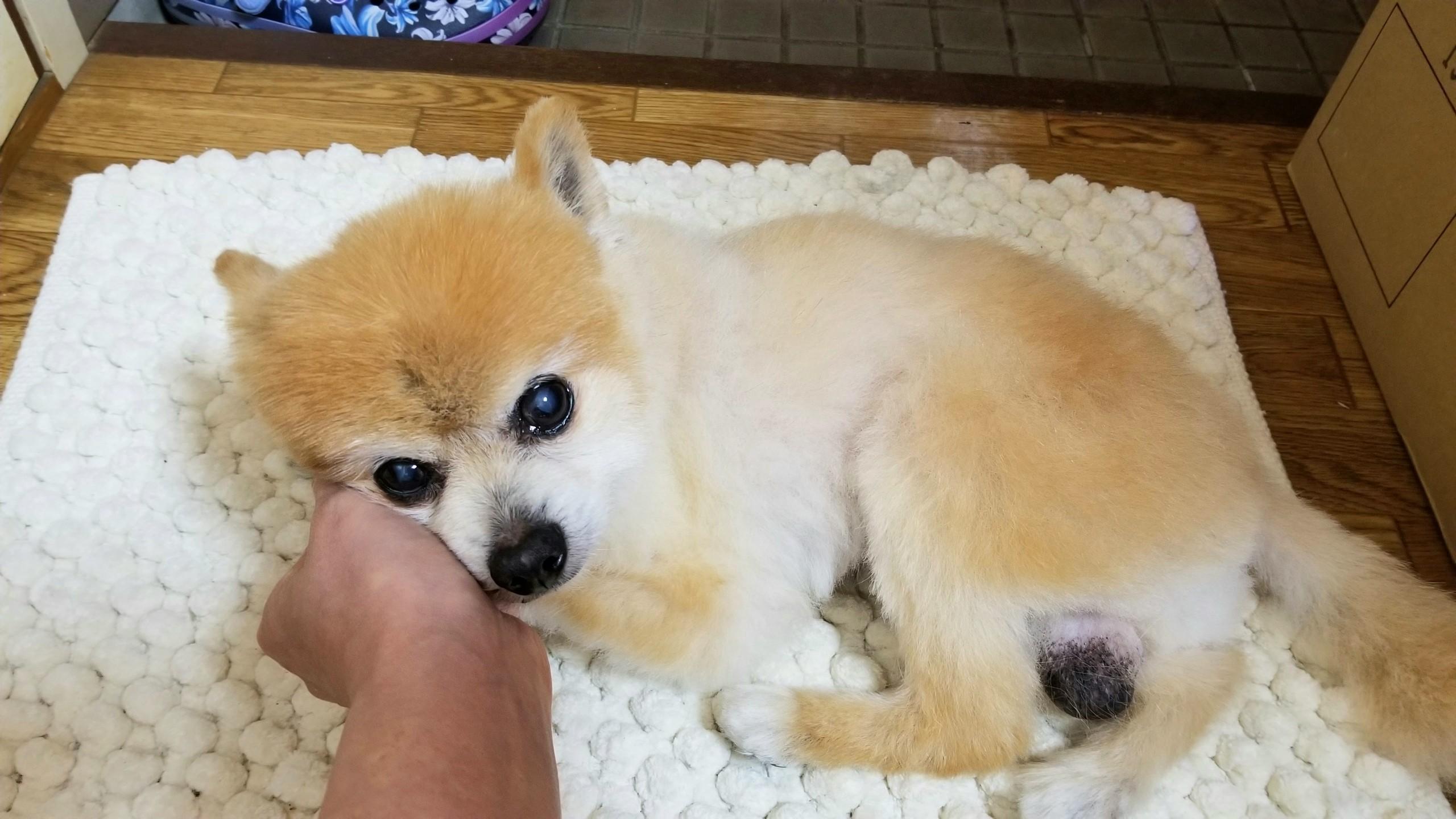 世界一かわいい犬ペットポメラニアンぬいぐるみみたい病気豆柴カット