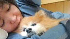 ポメラニアンベージュ色ブログ人気犬ふわふわ14歳寝落ちまんまる画像
