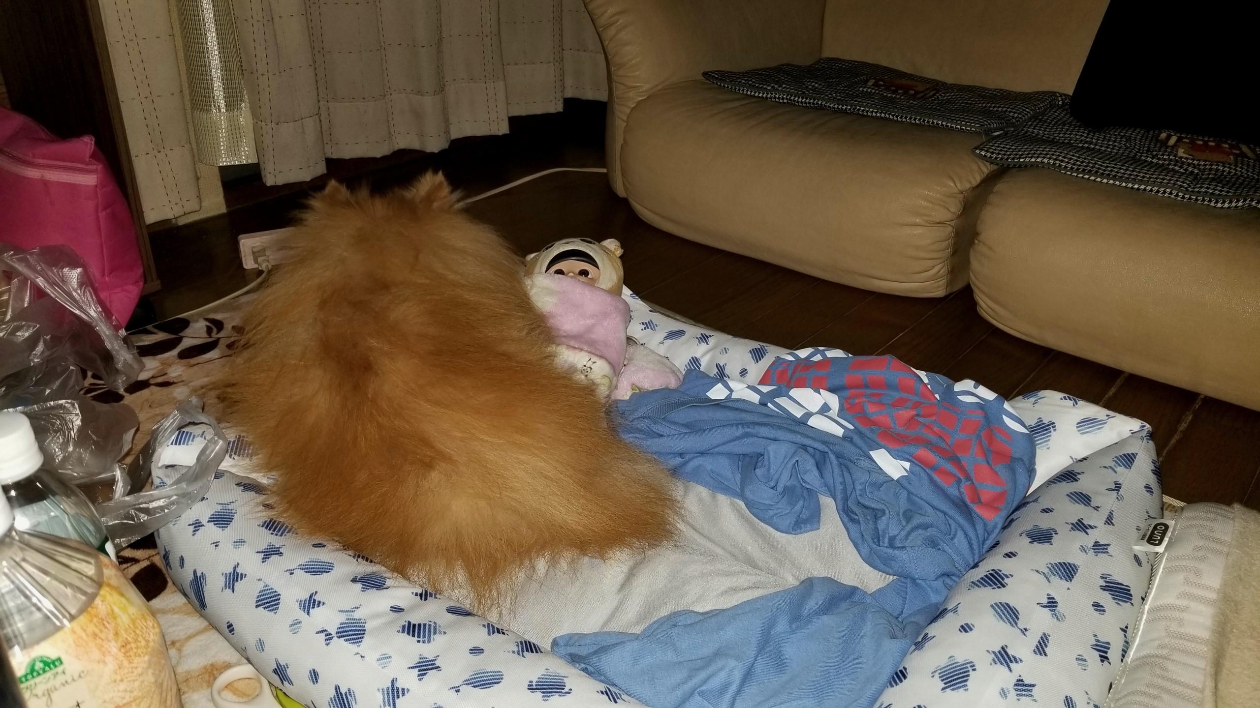 ペット老犬の病気容態悪化,かわいそう辛い,心臓弁膜症パテラ膝の痛み