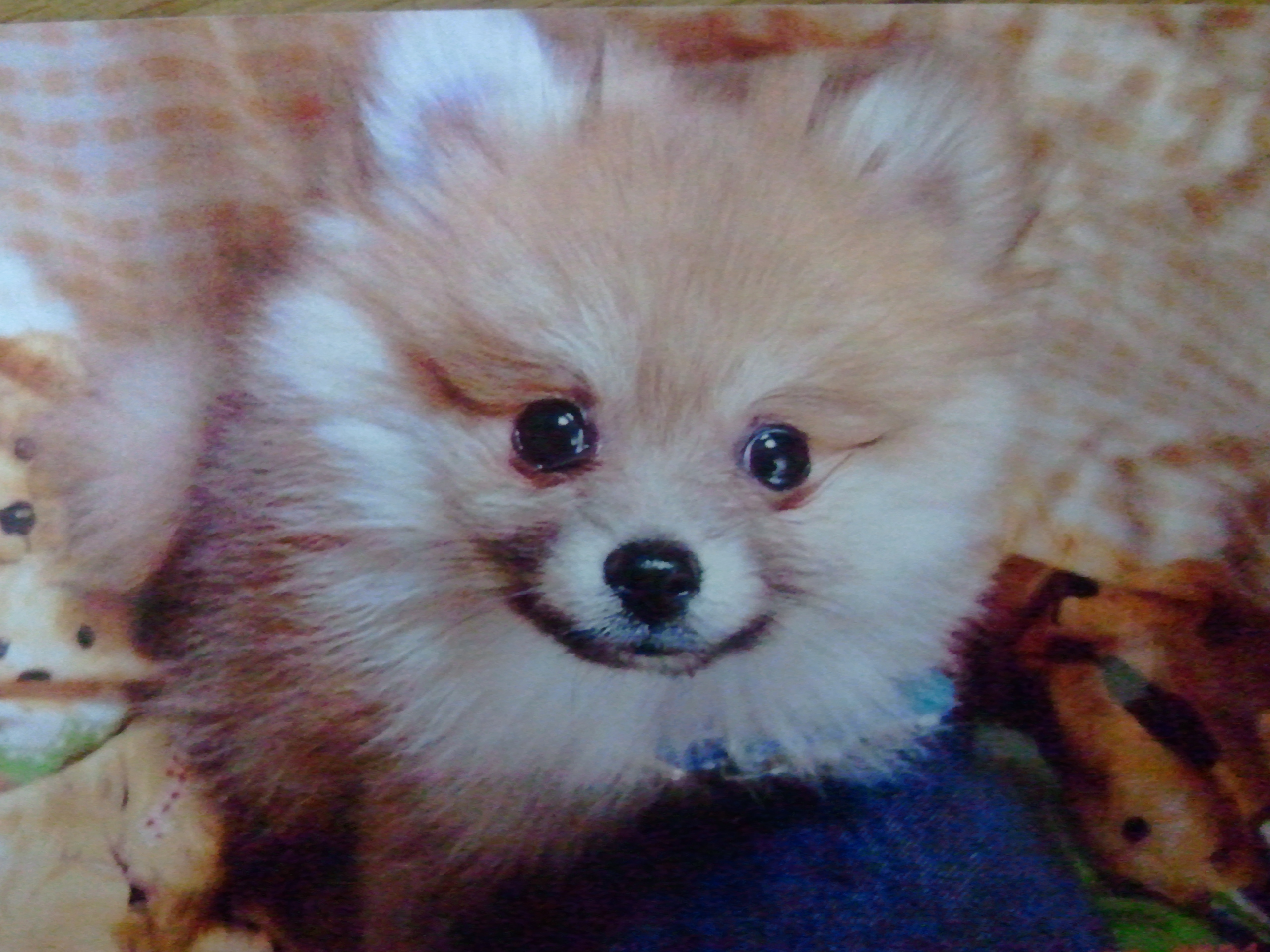 世界一かわいいポメラニアン,うちの子アイドル犬,人気,癒しペット