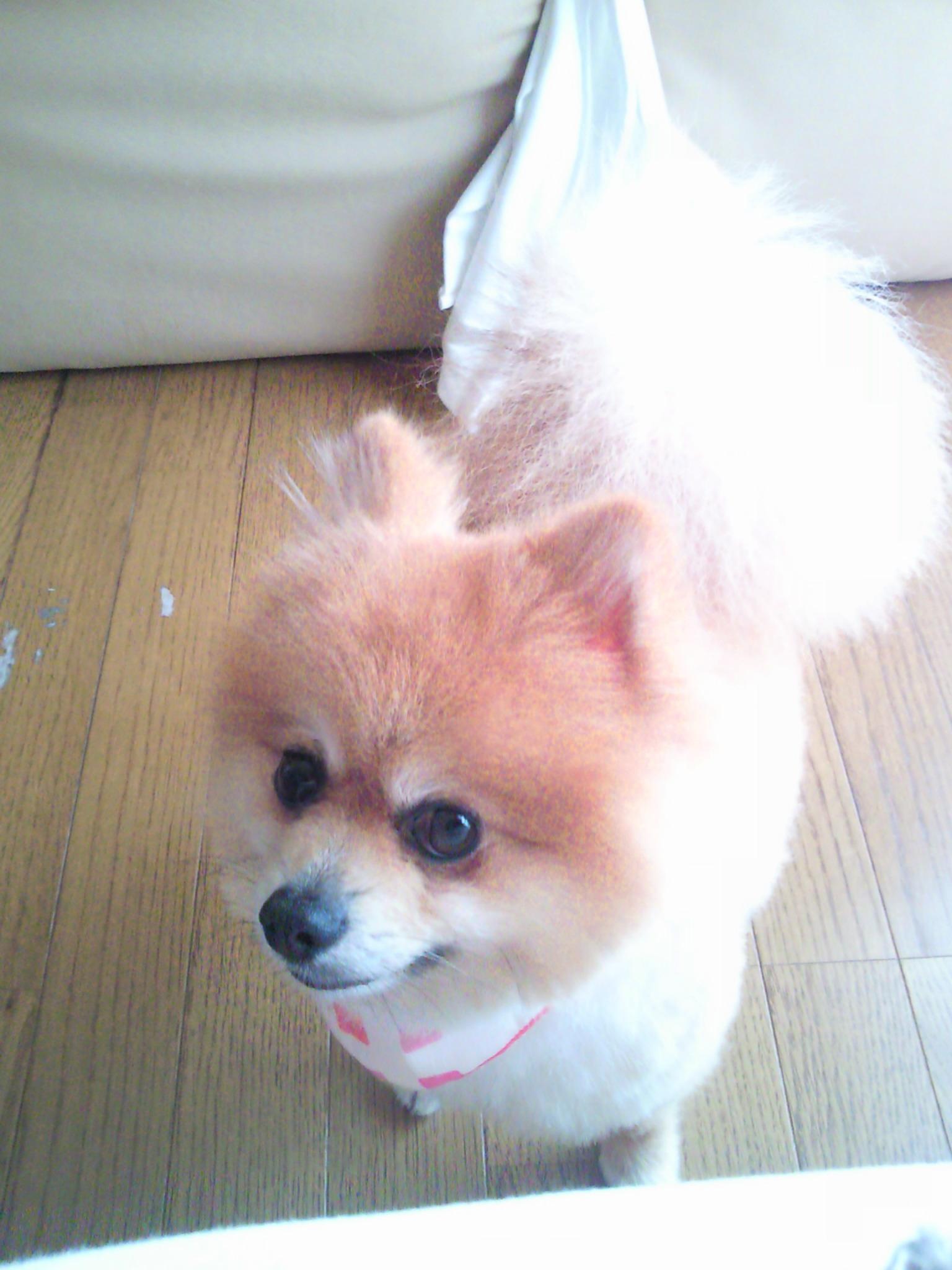 愛犬ワンラブ大好きポメラニアン世界一かわいい茶色サマーカット