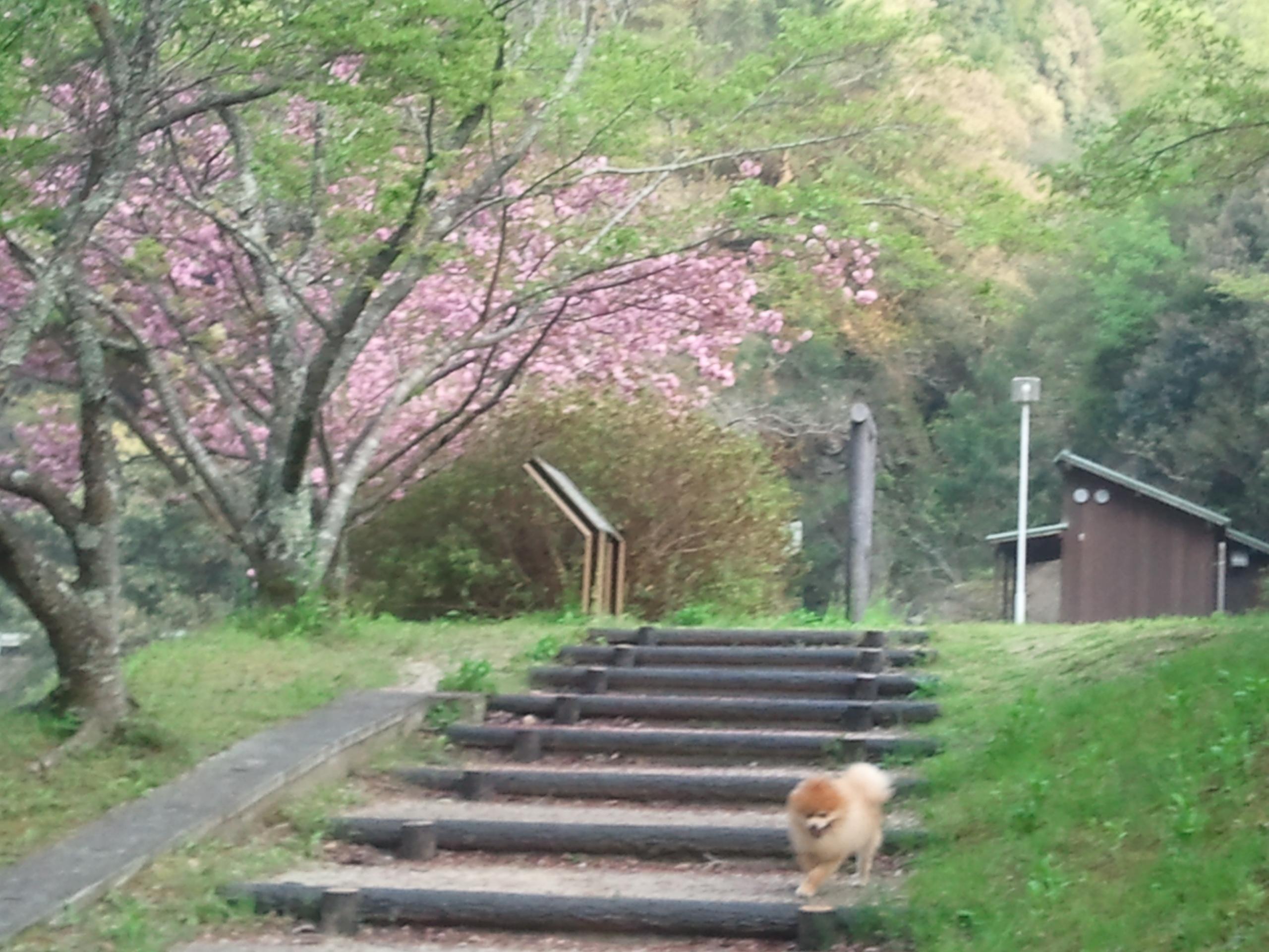 ペットと暮らす,犬と散歩,春爛漫,小さいポメラニアン,室内犬,可愛い