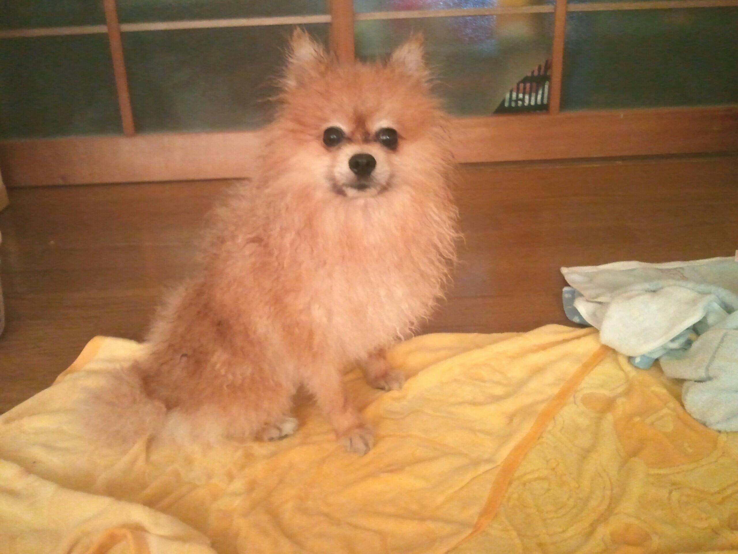 ペット,愛犬,ポメラニアン,フローリング,風呂あがり,かわいい動物