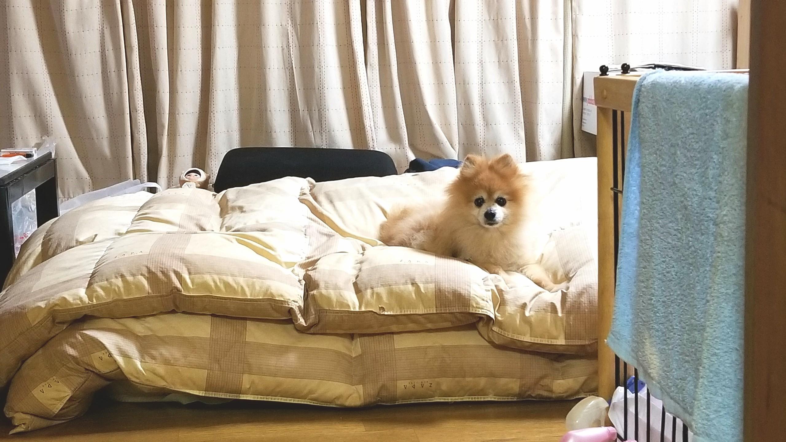 ペット,愛犬家,ポメラニアン,ぬいぐるみみたい,人気,もこもこ,ベッド