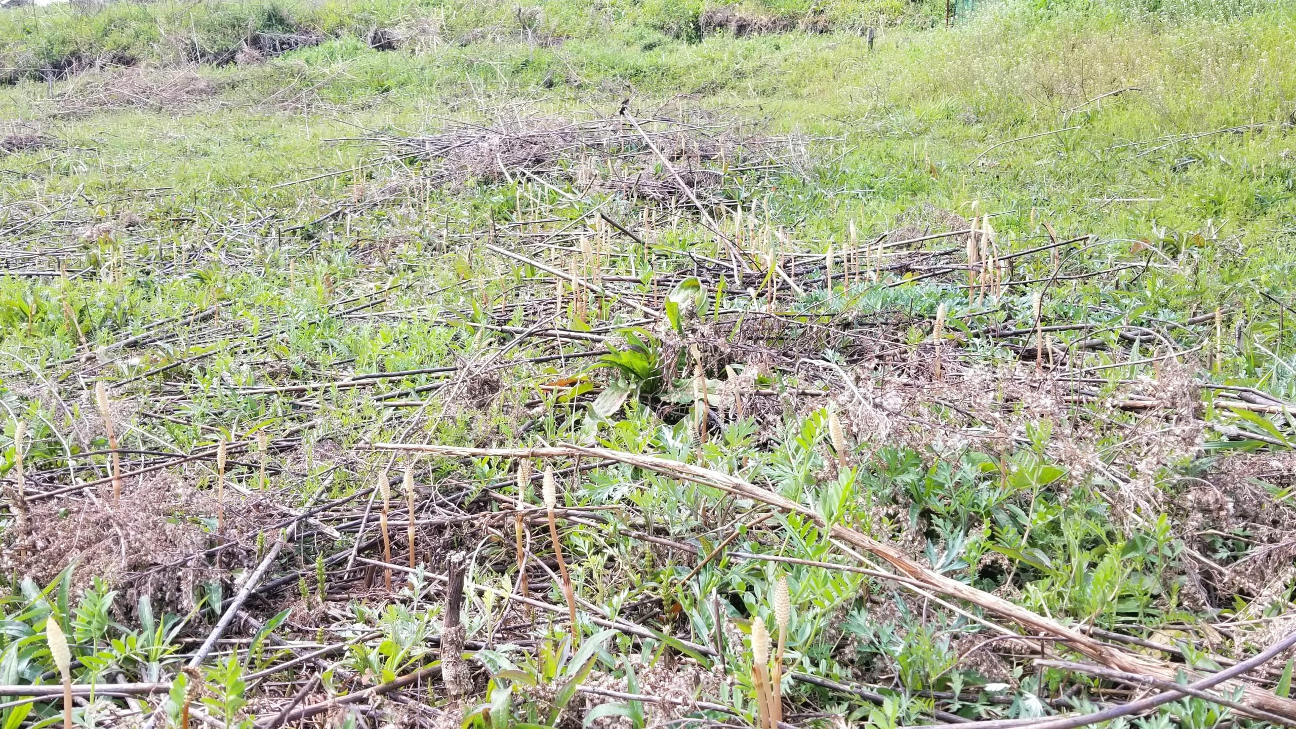 つくし咲く時期,山菜採り,旬シーズン少し遅い,一面土筆,ピクニック