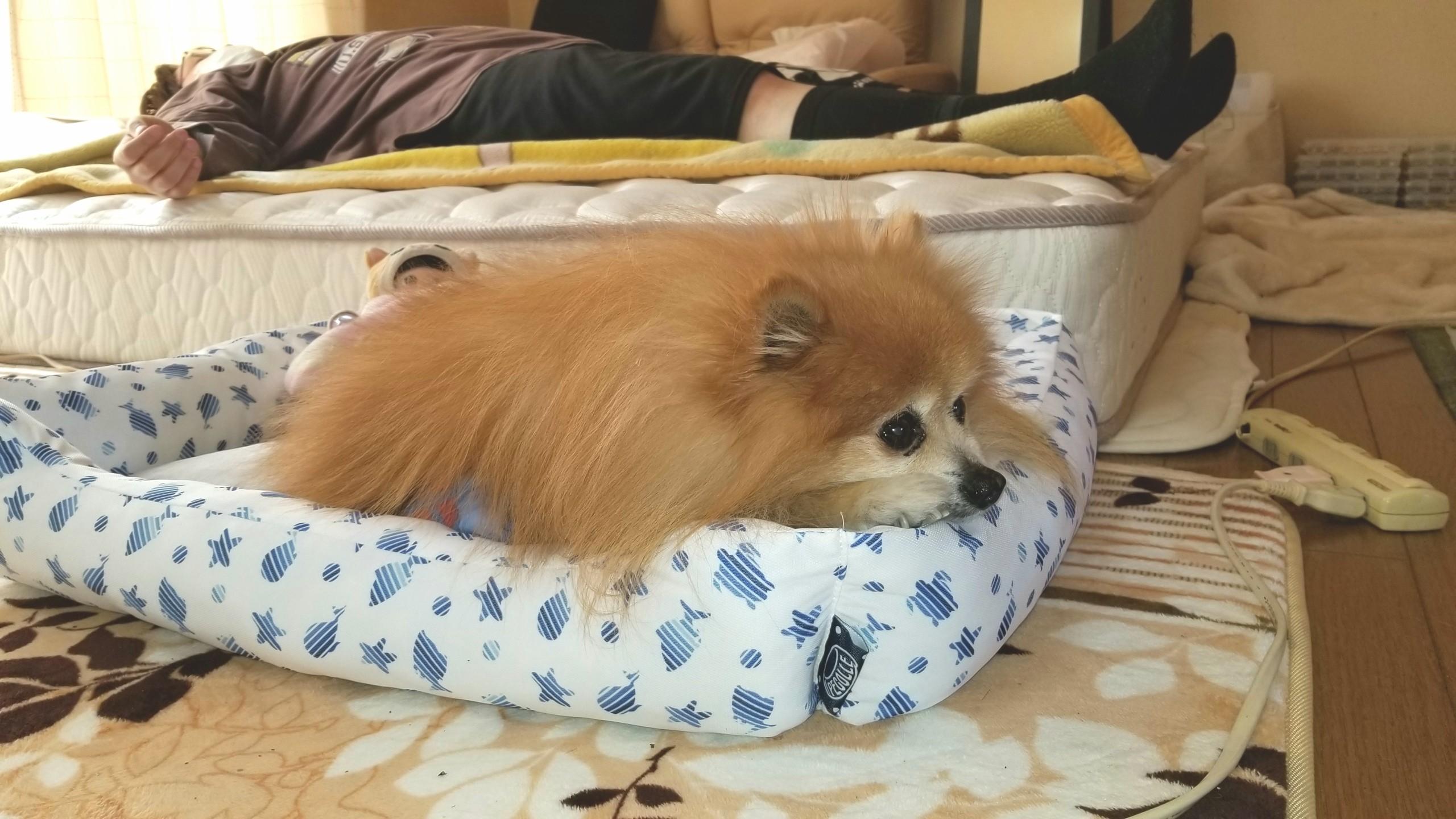 愛犬世界一かわいいポメラニアン,もふもふぬいぐるみみたい,動物好き