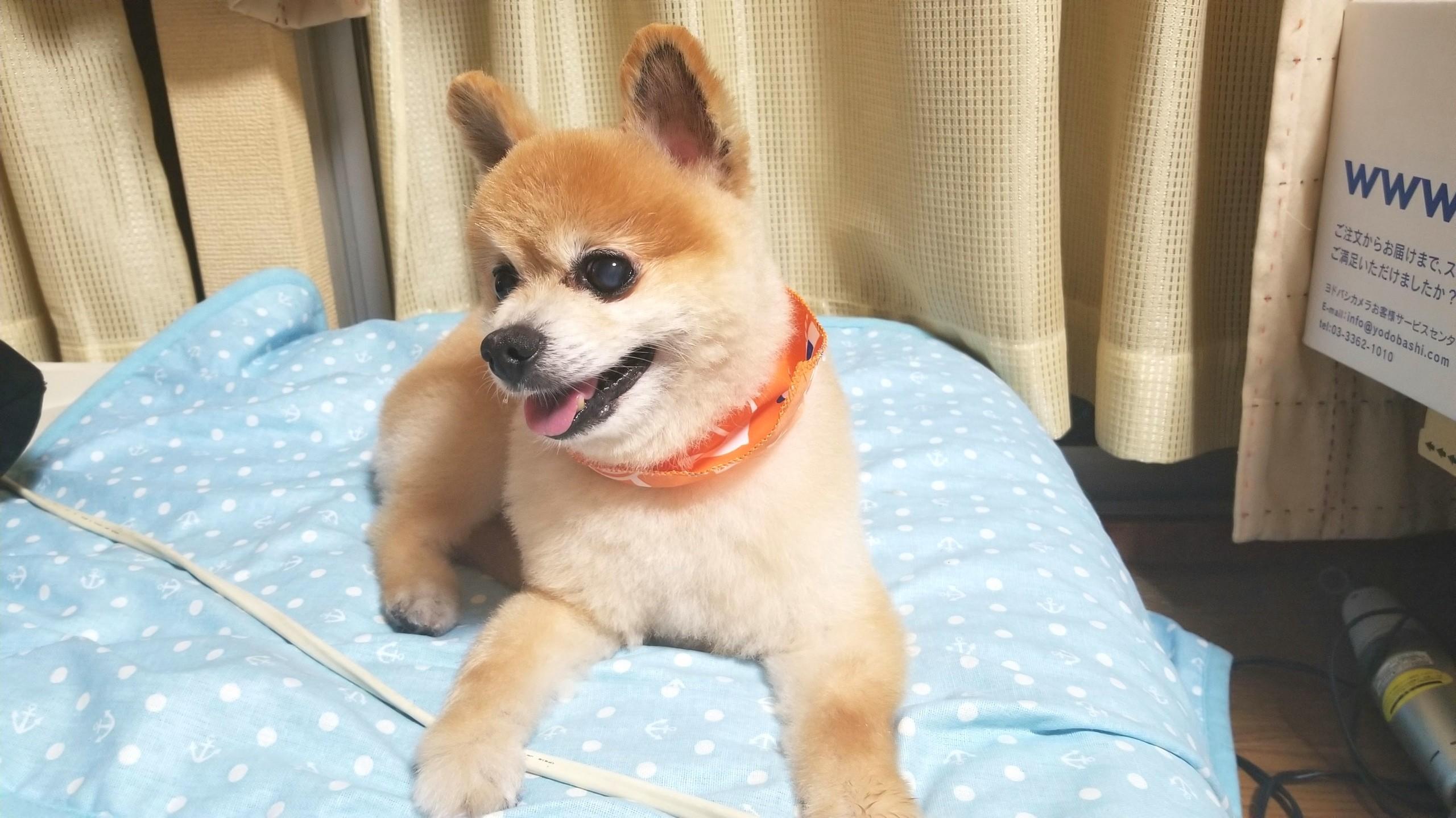 可愛い愛犬,ポメラニアン,サマーカット,アイドル俊介ちゃん似てる