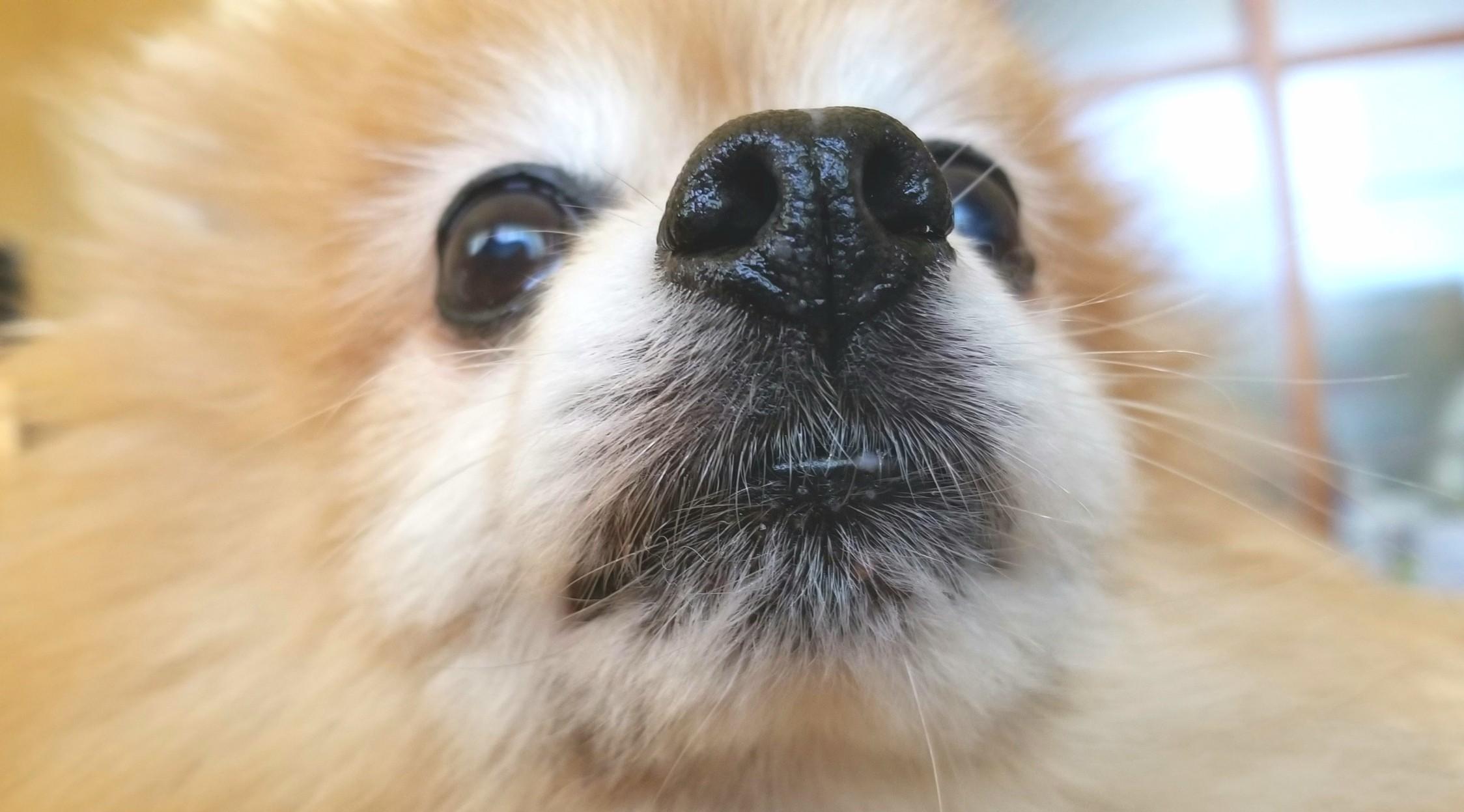 ペット,愛犬家,世界一かわいいポメラニアン,14才,老犬元気,大好き