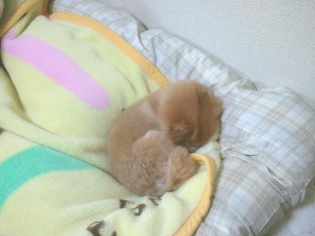 世界一かわいいポメラニアン愛犬ペットロス家族天国幸せ大好き人気