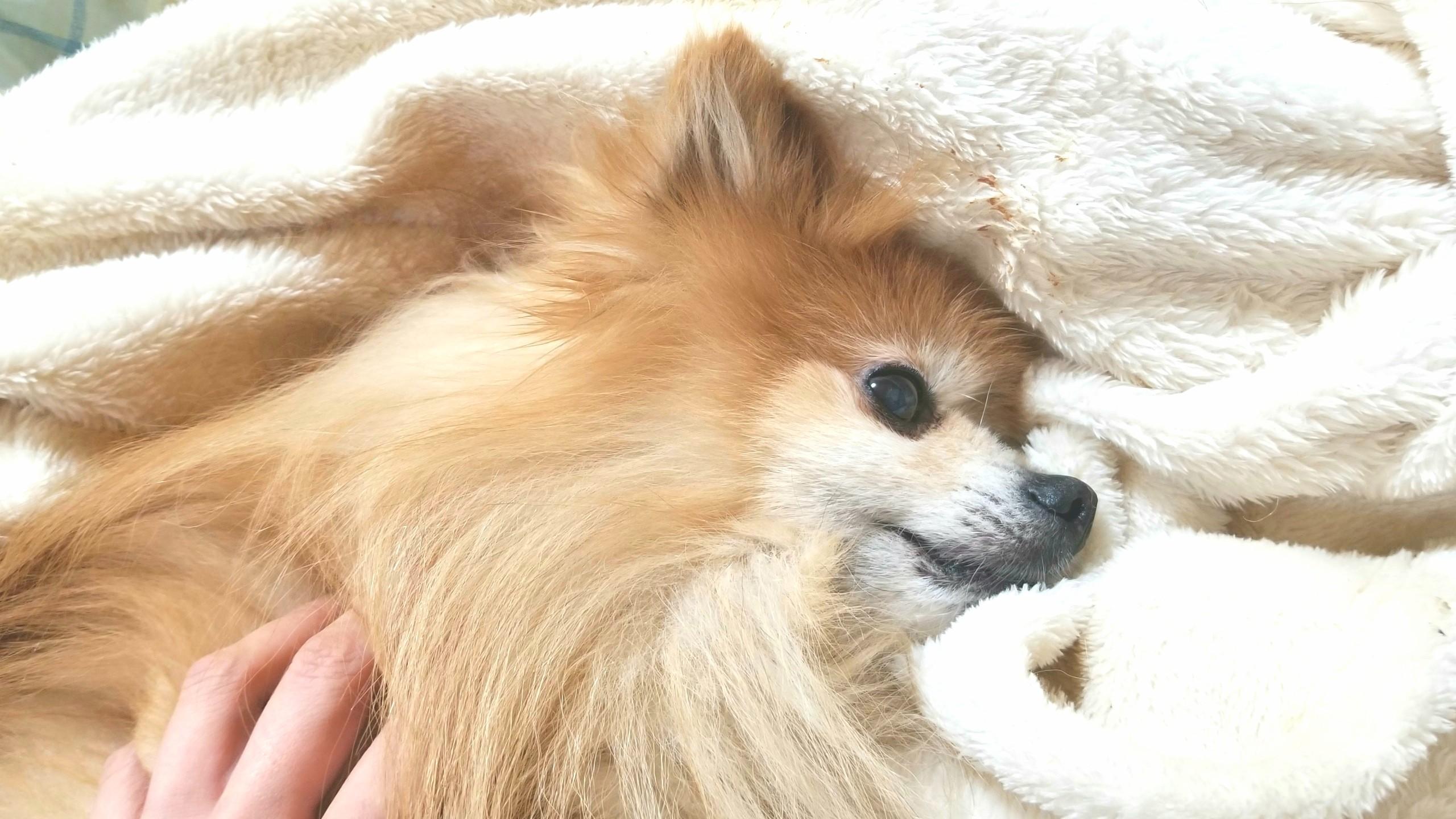 愛犬好き,かわいいポメラニアン,もふもふにやにや,男の子,socute