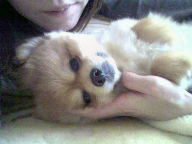 世界一可愛いポメラニアン愛犬ペット大好きワンラブ画像写真愛おしい