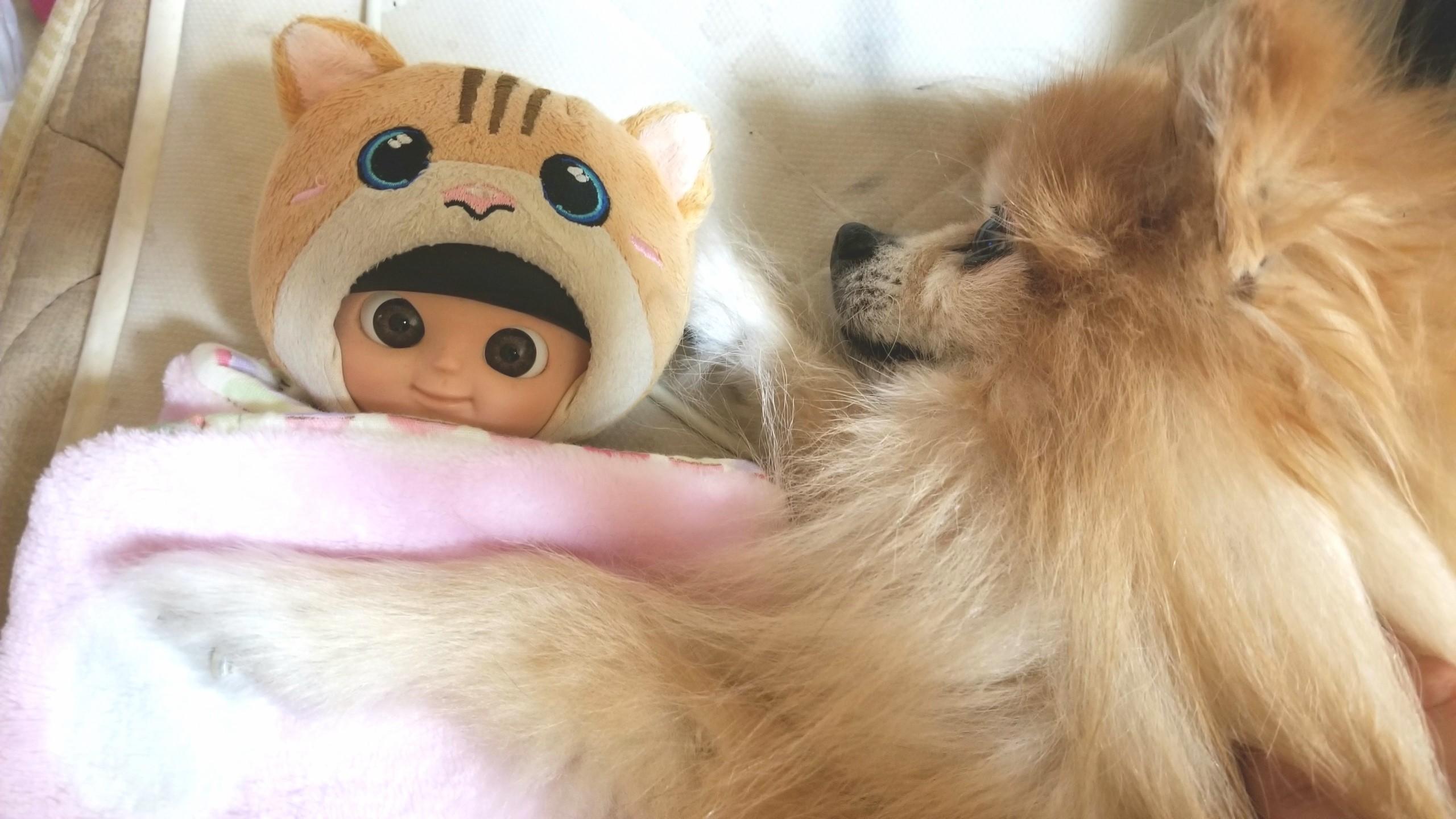 うちの子かわいい,愛犬ポメラニアン,ラブ,寝顔大好き,ドールと仲良し