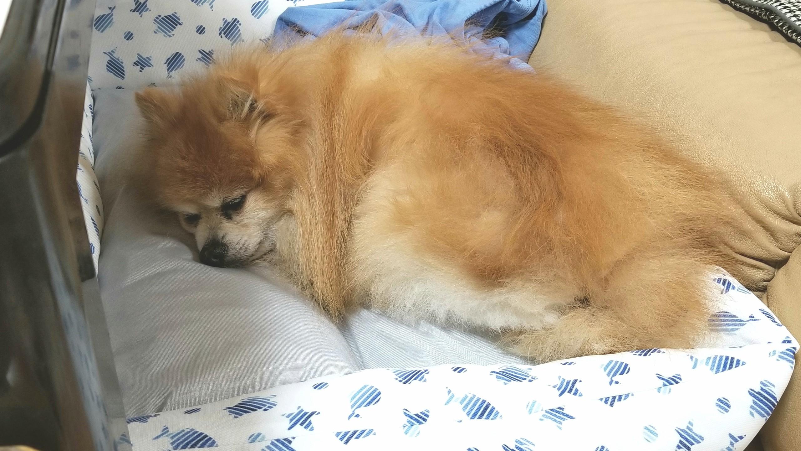 老犬の介護ペット室内犬の様子,おかしい食欲不振低下,もふもふ