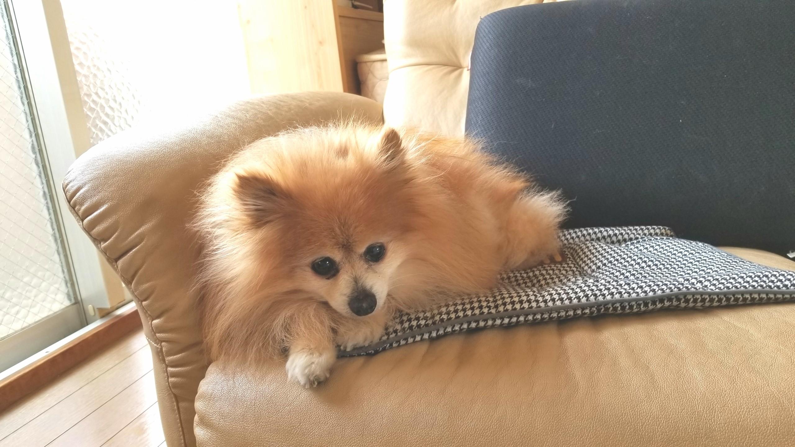 世界一かわいいポメラニアン,室内犬小型もふもふふわふわ親バカ