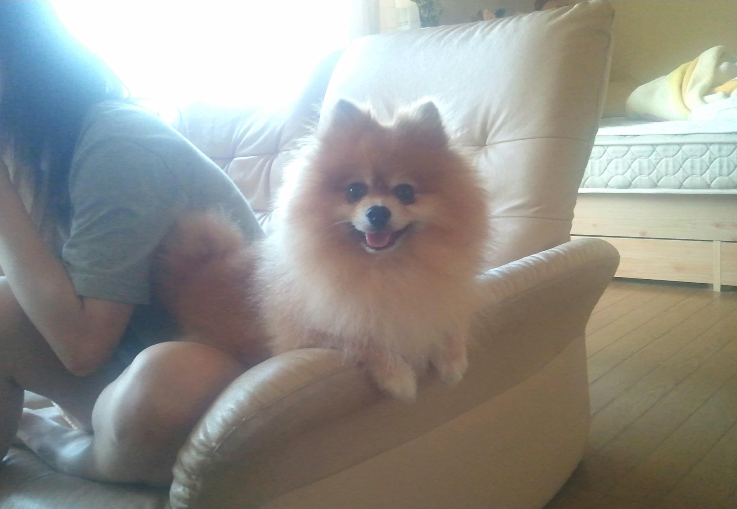 ペット,犬,ポメラニアン,一人暮らし,フローリング,愛犬家,かわいい