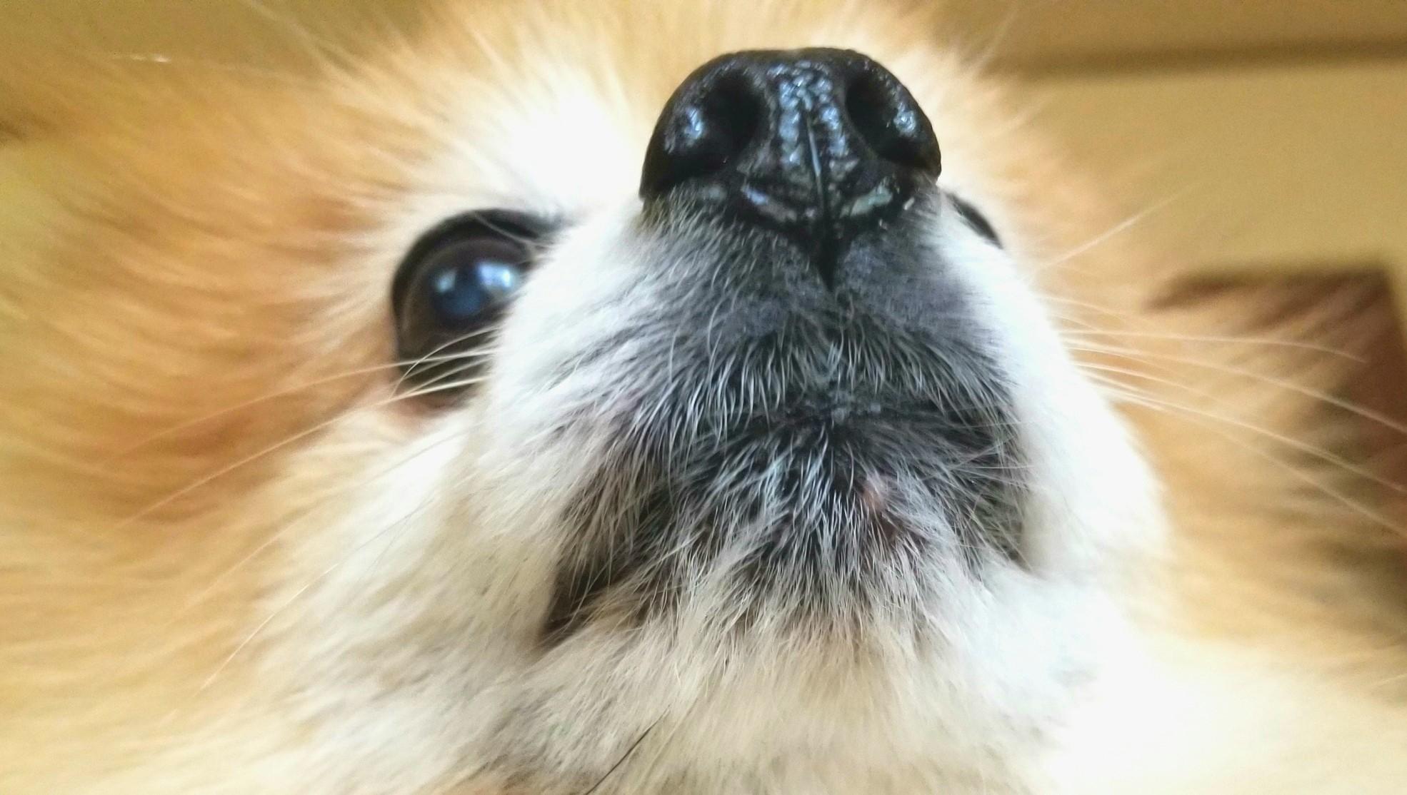 愛犬家,ペット可愛い表情のポメラニアン,アップ顔,鼻目,犬好き