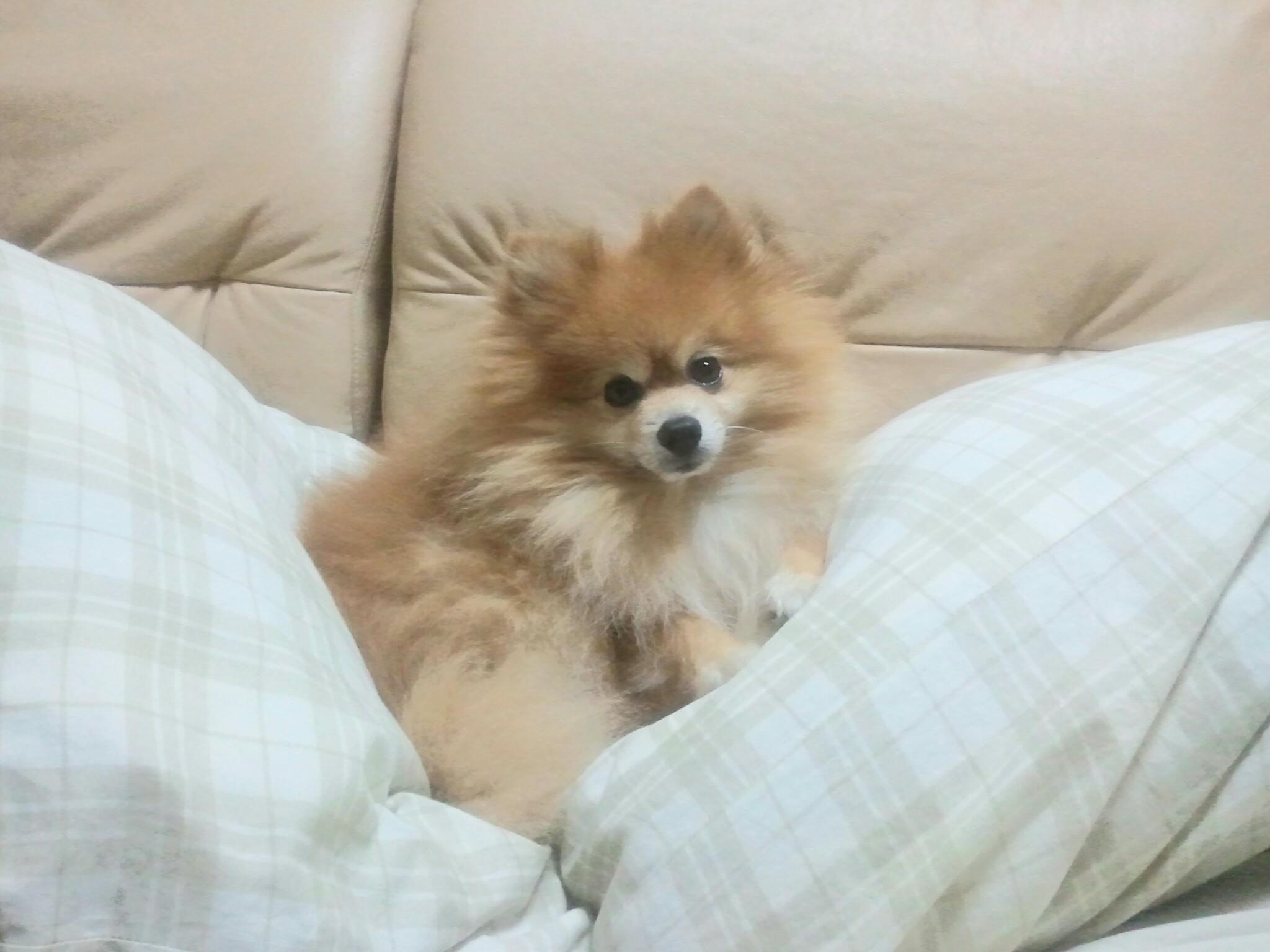 天国へ逝った愛犬ペットかわいいポメラニアン人気アイドル天使幸せ