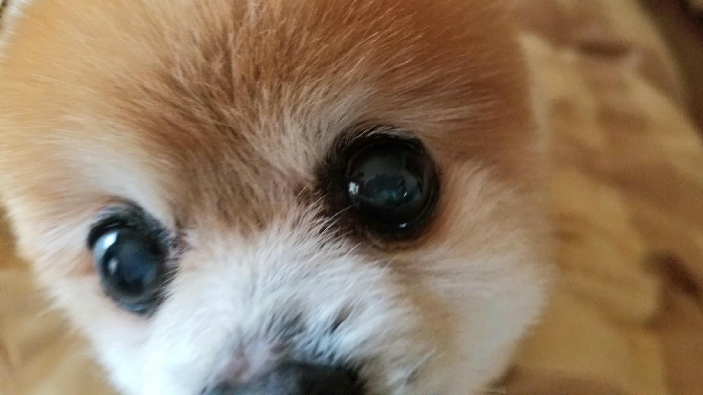 ペットポメラニアン小さい犬魚料理小型抜け毛ずっと一緒にいたい可愛