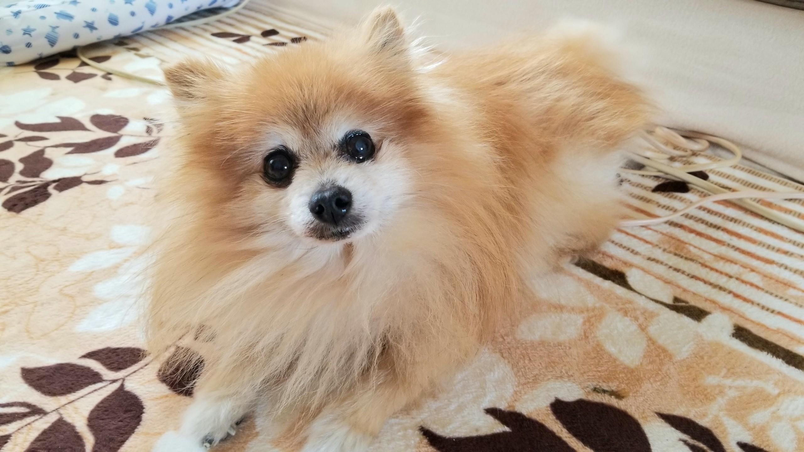 ぬいぐるみみたいもふもふもこもこふわふわかわいい犬ポメラニアン