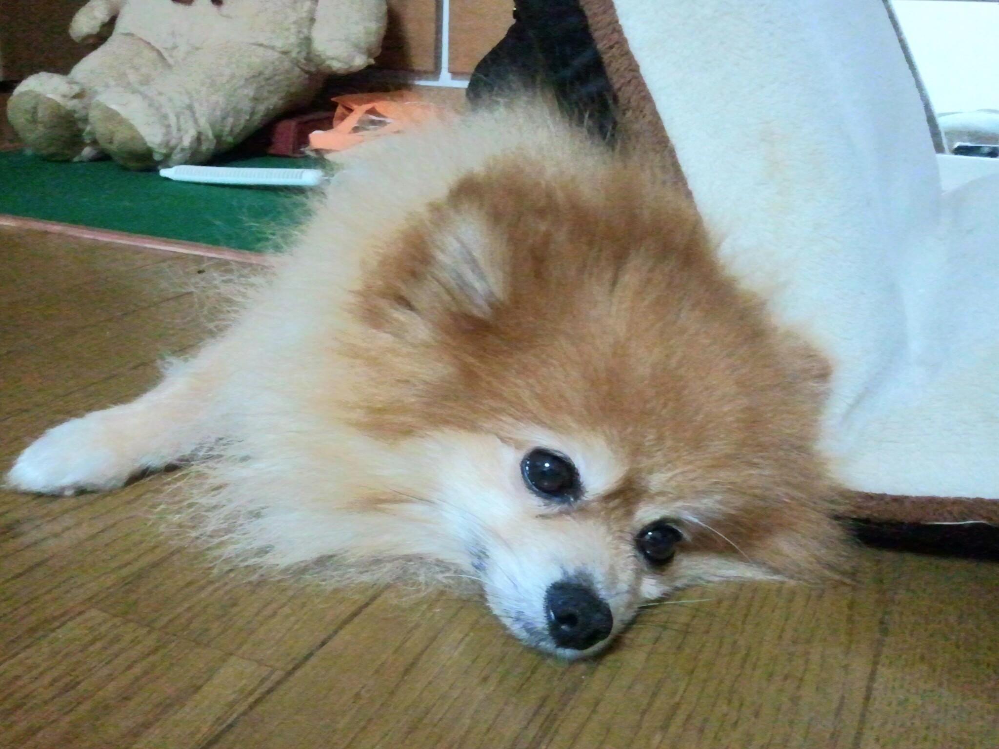 愛犬自慢ポメラニアン大好きかわいすぎる人気アイドルぬいぐるみたい