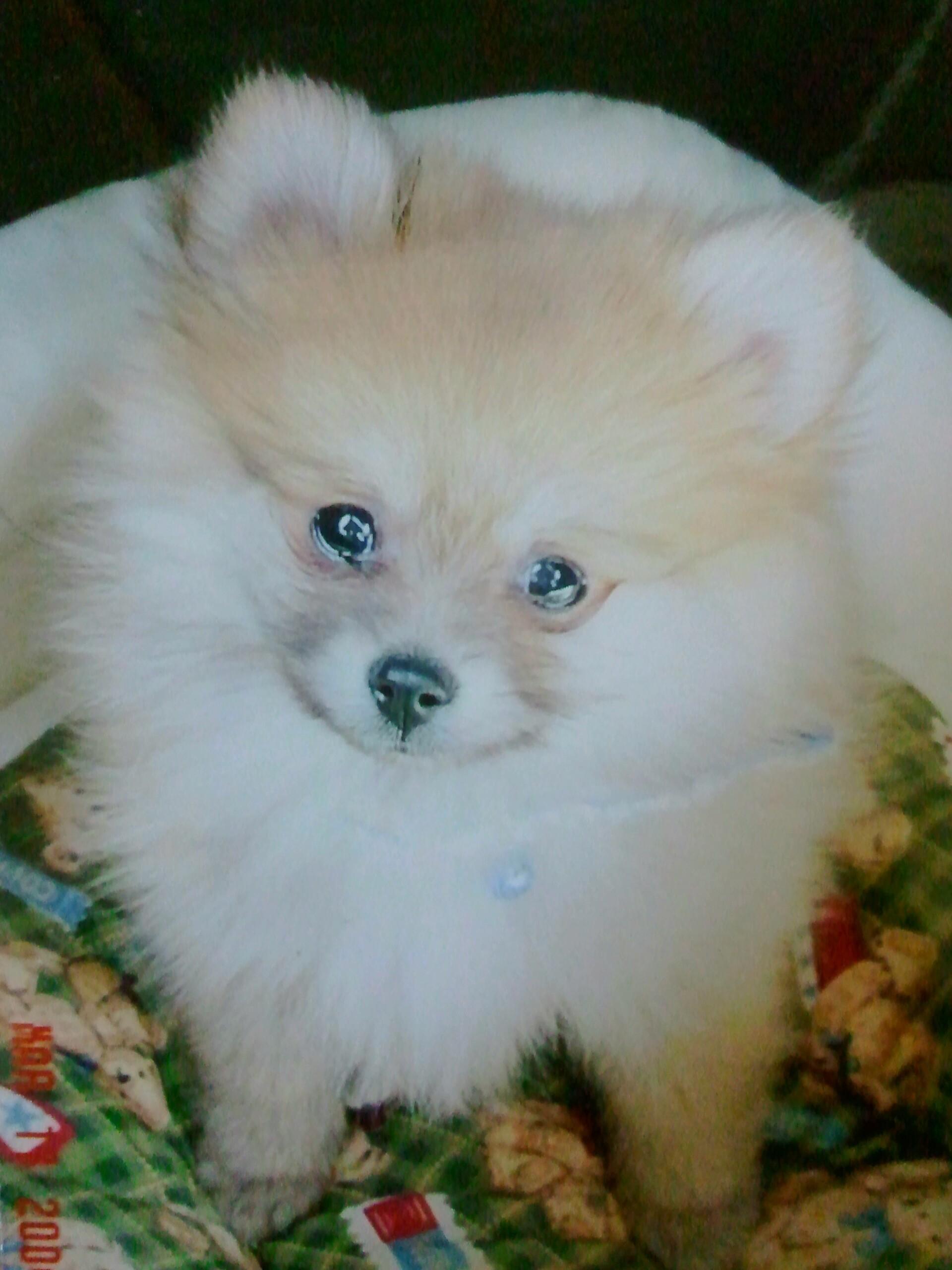 kawaiijapan世界一かわいいポメラニアン仔犬人気ぬいぐるみみたい