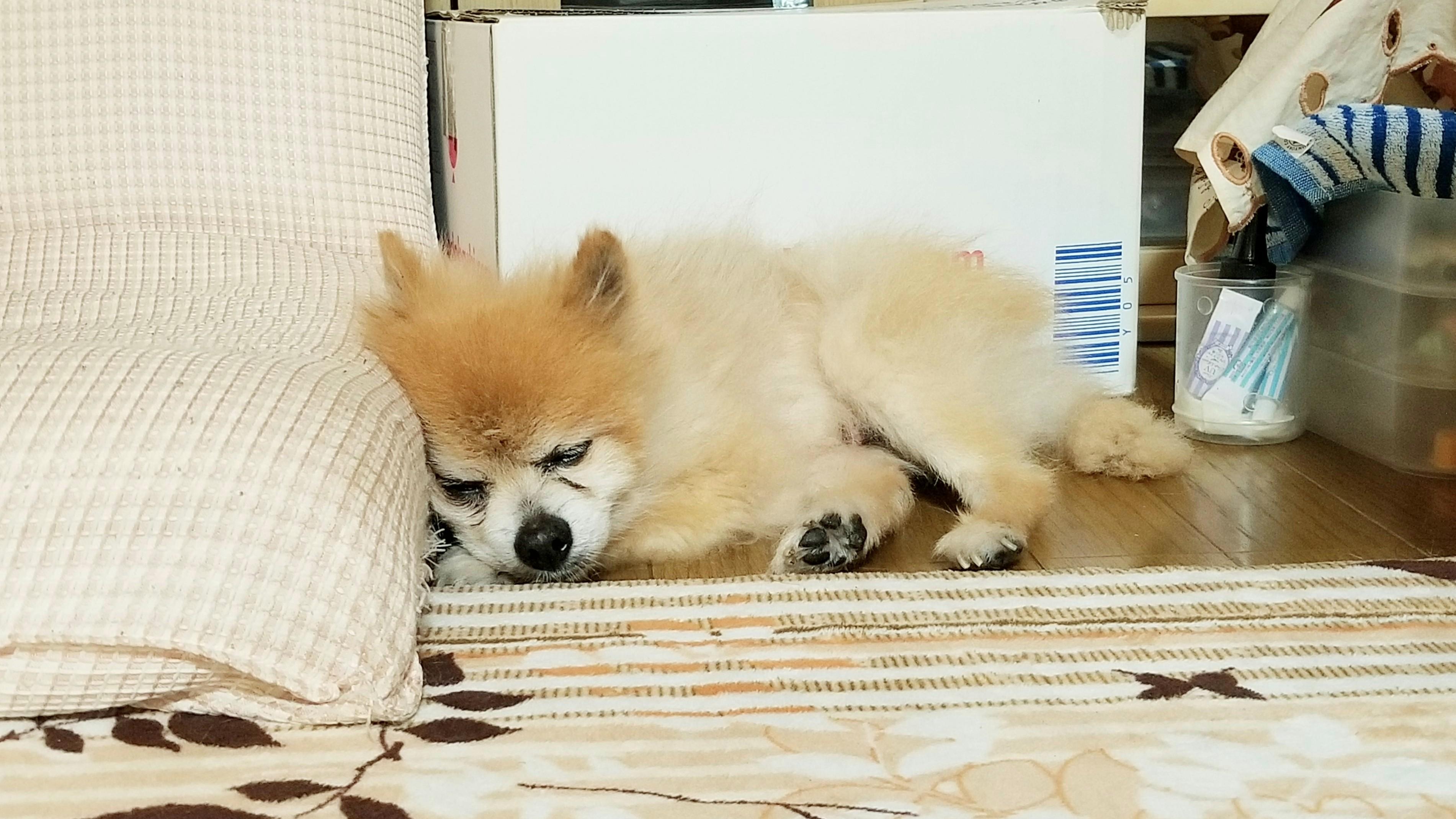 愛犬くん天国へペットの生命死初七日悲しみ寂しいポメラニアン幸せに