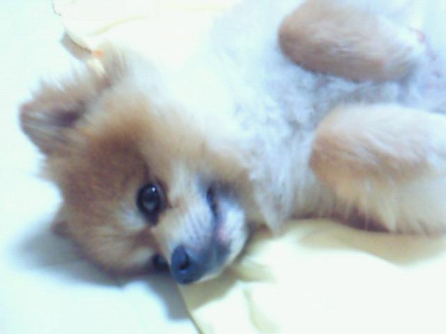 犬派大好きポメラニアンアイドル人気かわいい寝姿顔ペットロス
