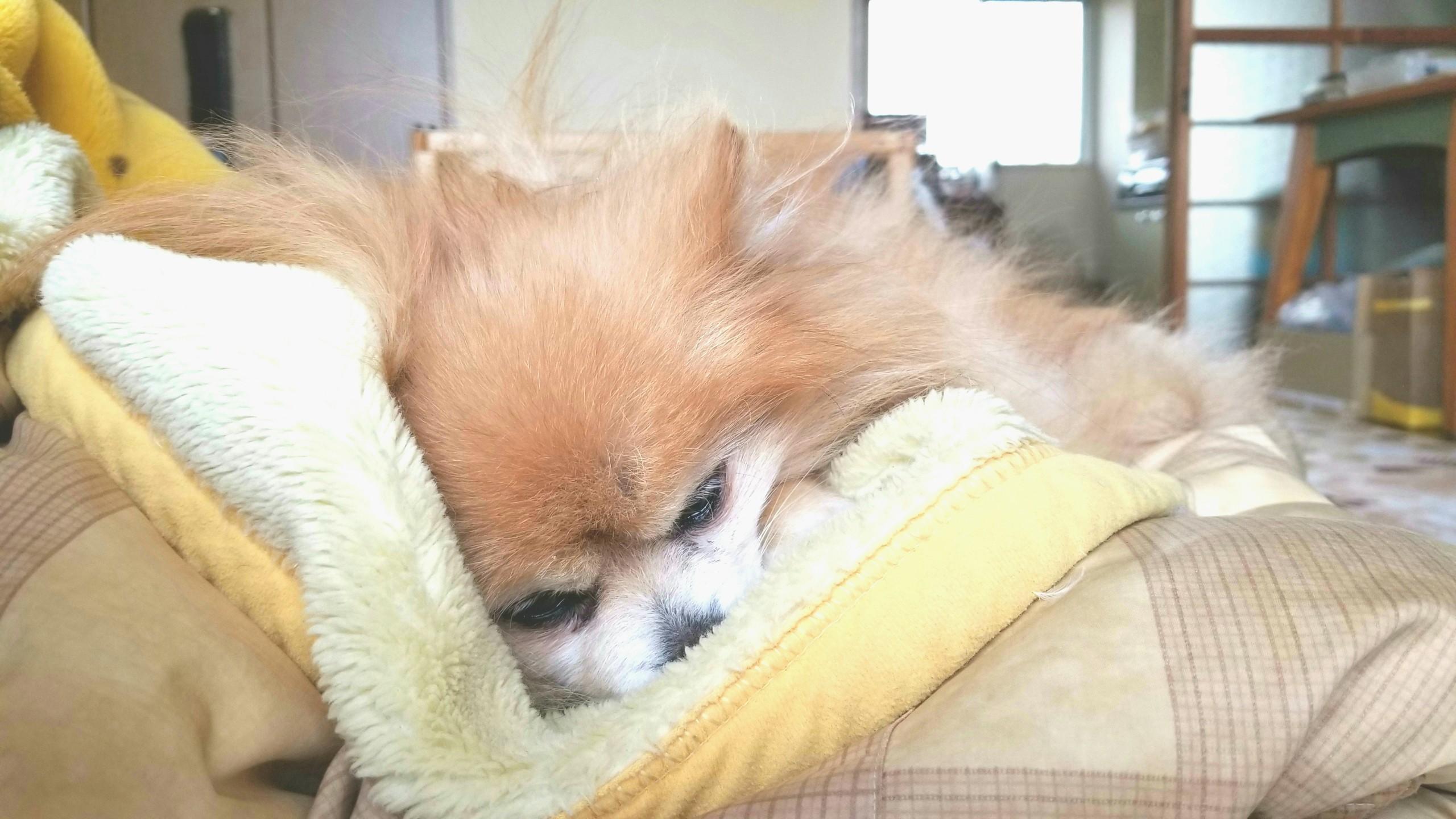 世界一かわいいポメラニアン寝顔愛犬ペット老犬14歳の生活大好き