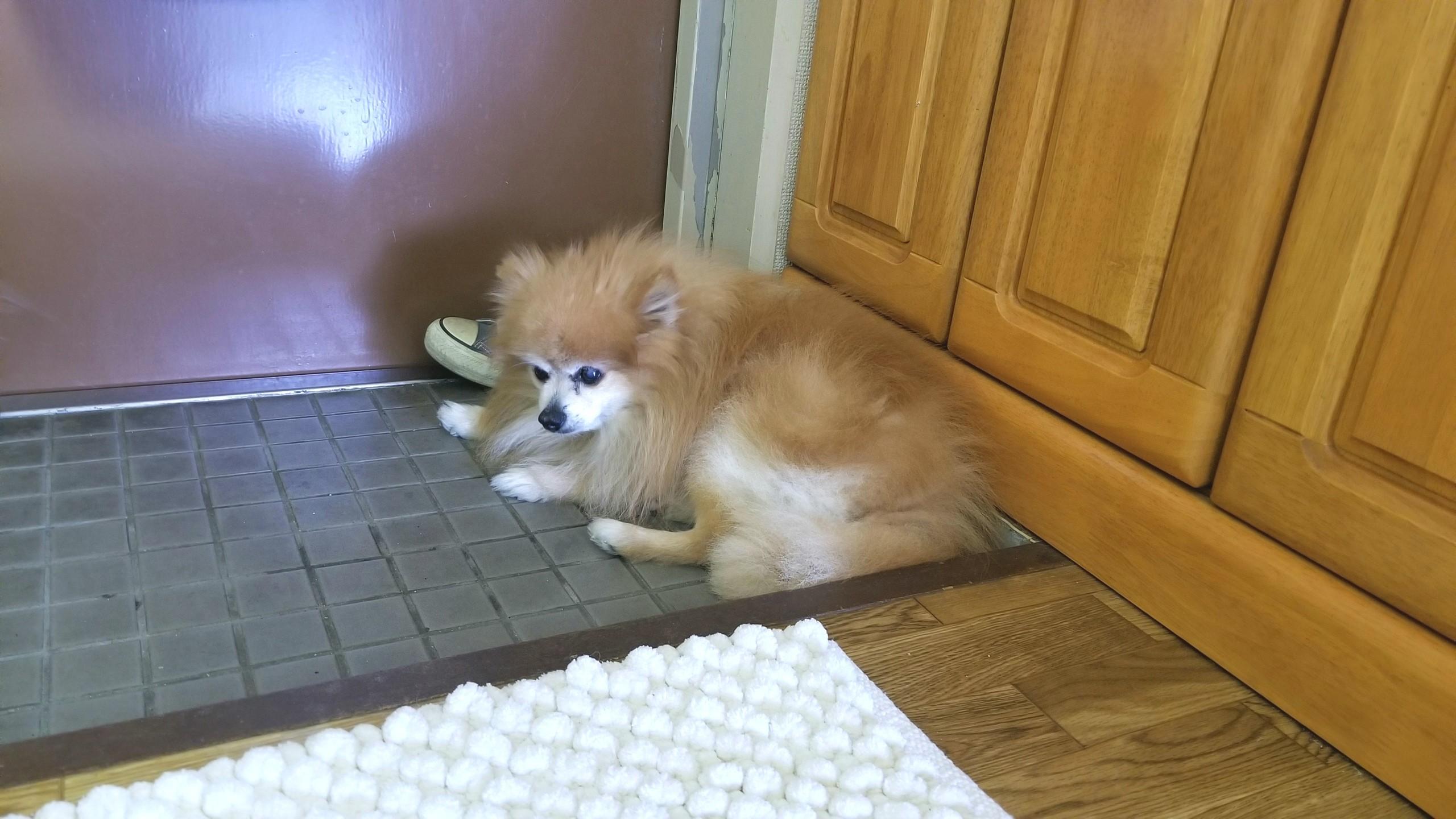 元気がないしょんぼり犬ペット食事管理体調不良病気ポメラニアン