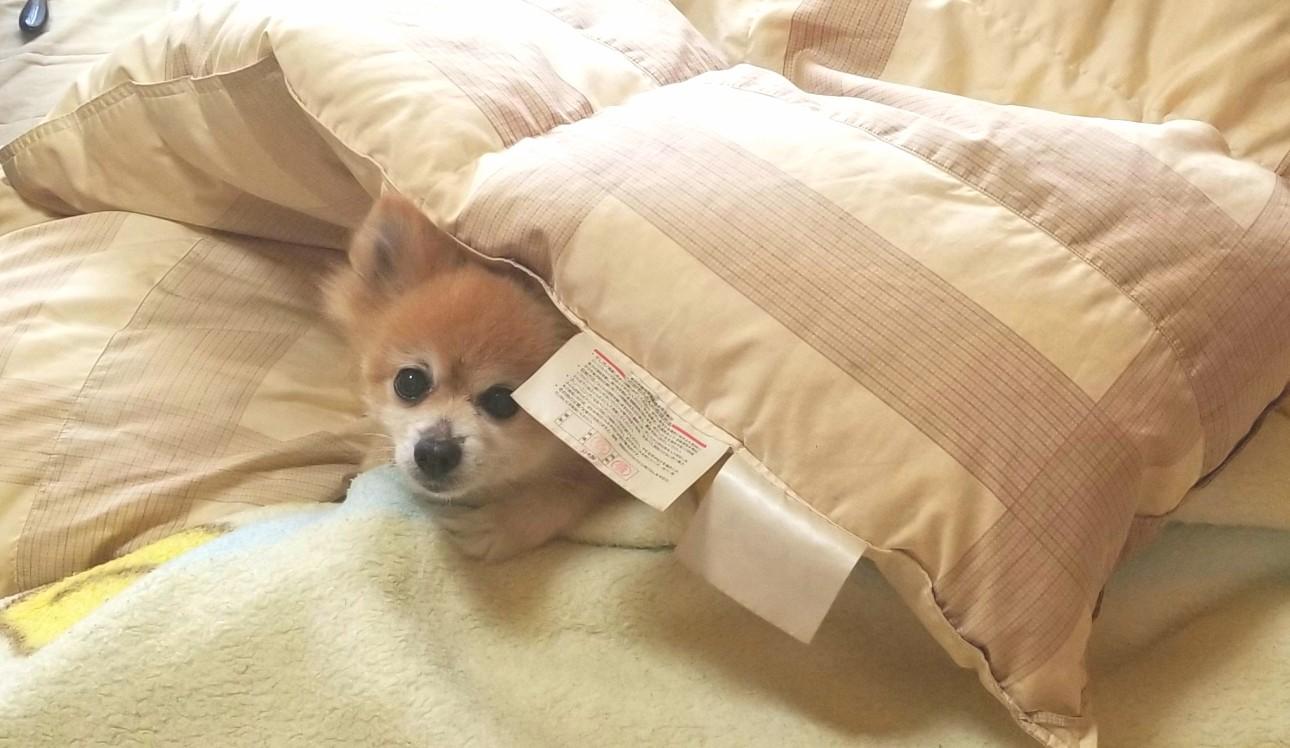 ペット,犬,かわいい赤ちゃん,可愛いポメラニアン,布団,寝姿,隠れんぼ