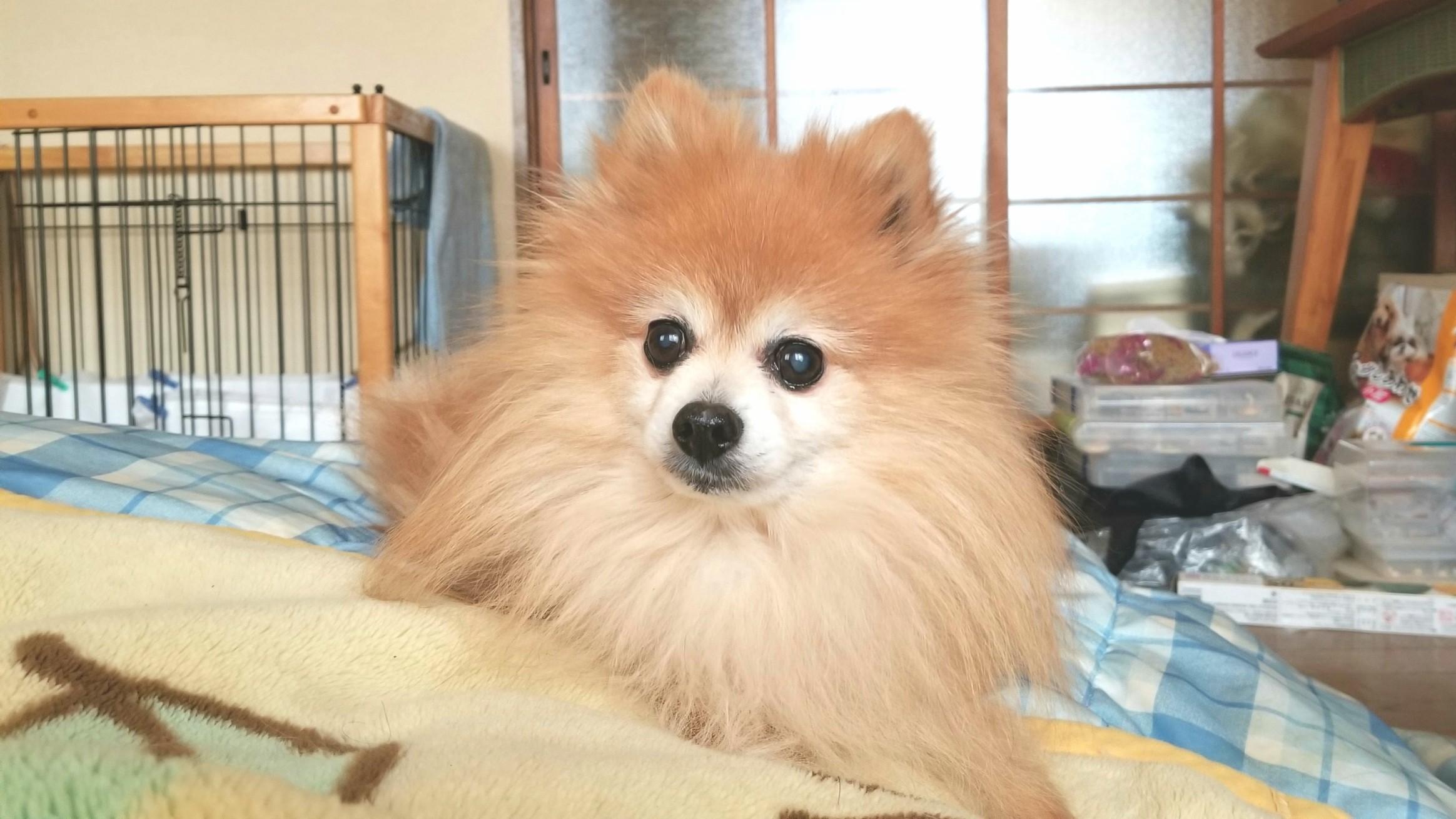 ペットは家族,愛犬,世界一かわいいポメラニアン,15才犬,癒しまったり