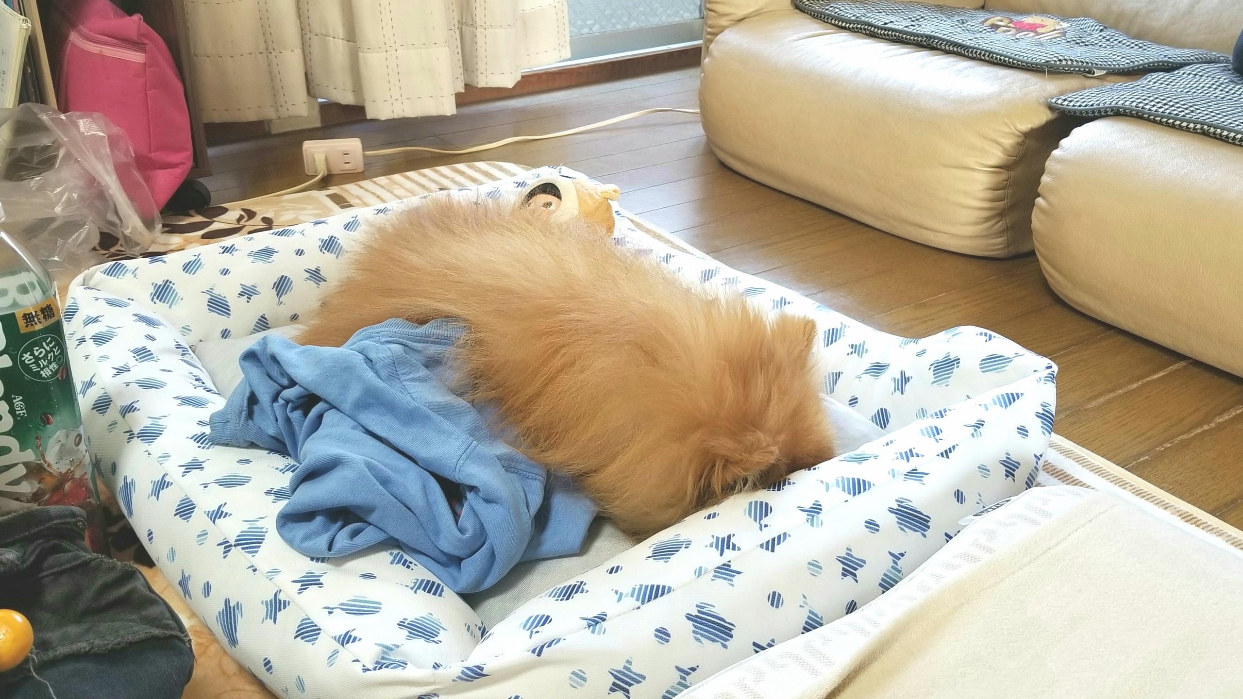 大好きなポメラニアンペットは家族愛犬,元気になって病気原因不明