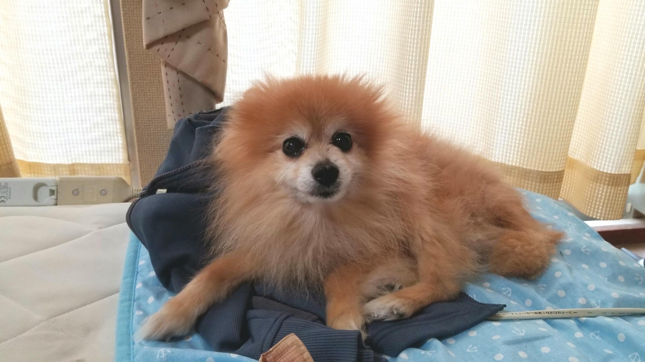 東京観光へ,ペットホテル宿泊,留守番,愛犬,ポメラニアン,寂しがり屋