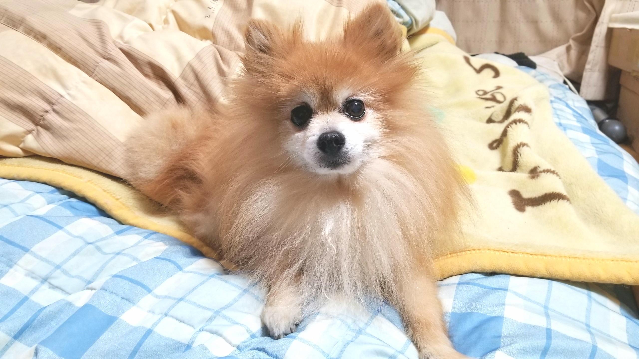 世界一かわいいポメラニアン,アイドル犬,人気,癒し系ペット,大好き