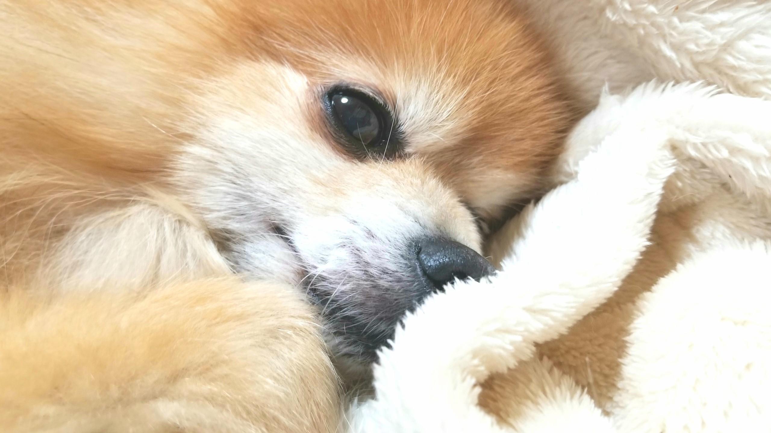 愛犬,犬大好き,世界一かわいいポメラニアン,もふもふにやにや,男の子