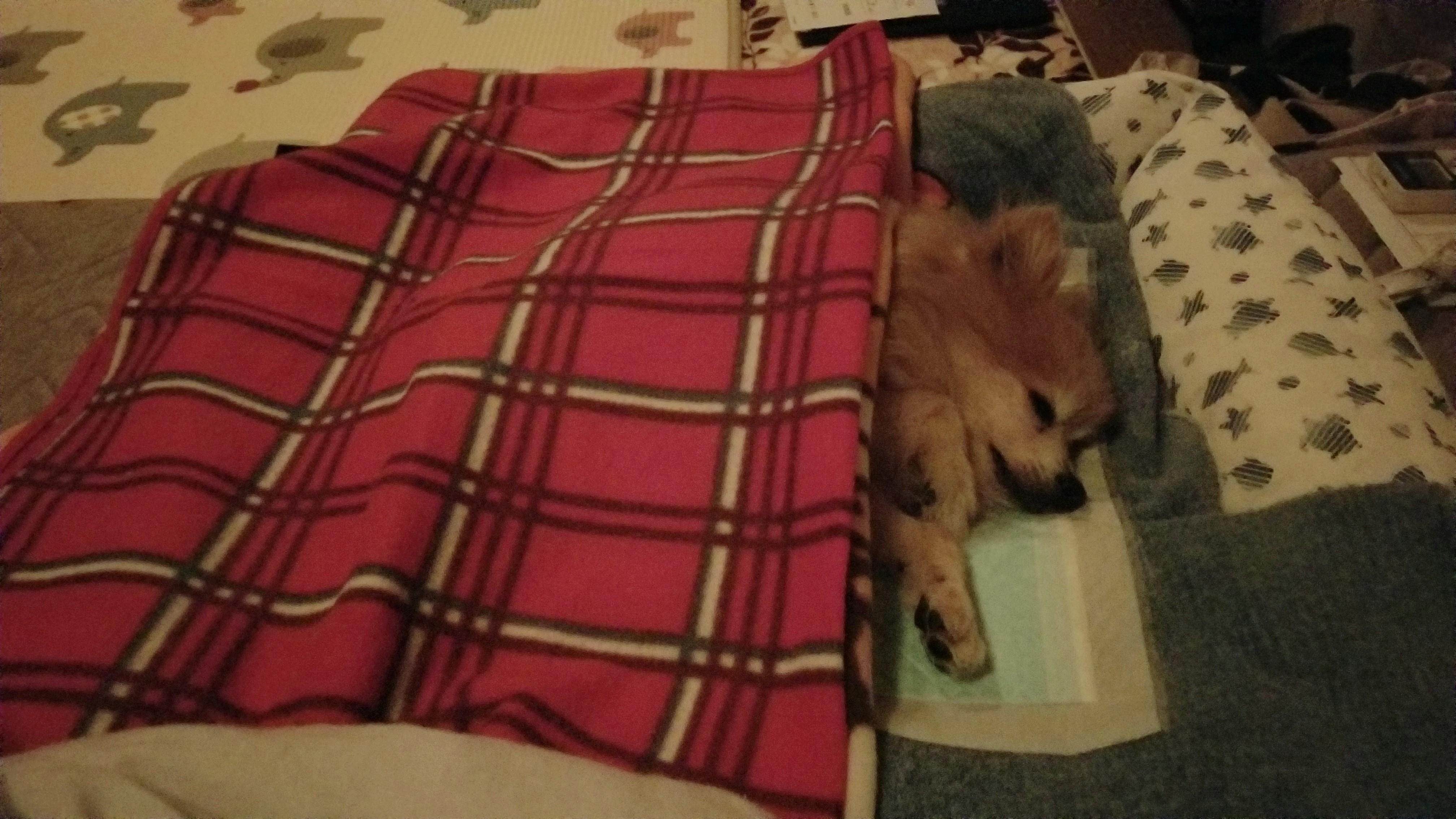 老犬おしっこ尿漏れ病気介護介抱病状悪化ペットおむつ夜間外来