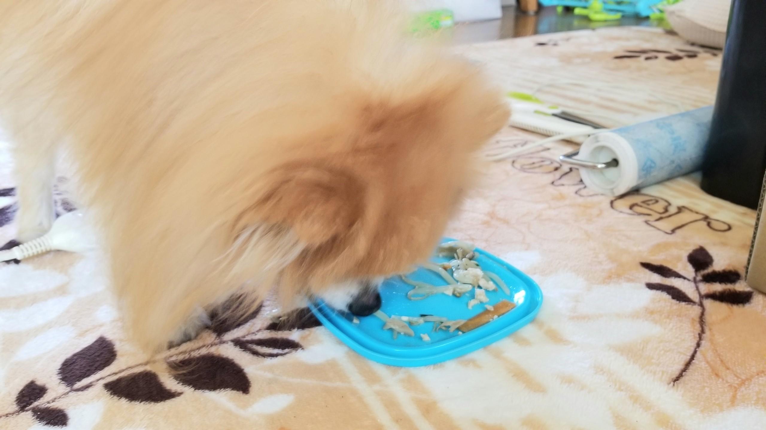 ポメラニアンかわいい茶色ブログ犬ふわふわ老犬寿命飼い方育て方食事