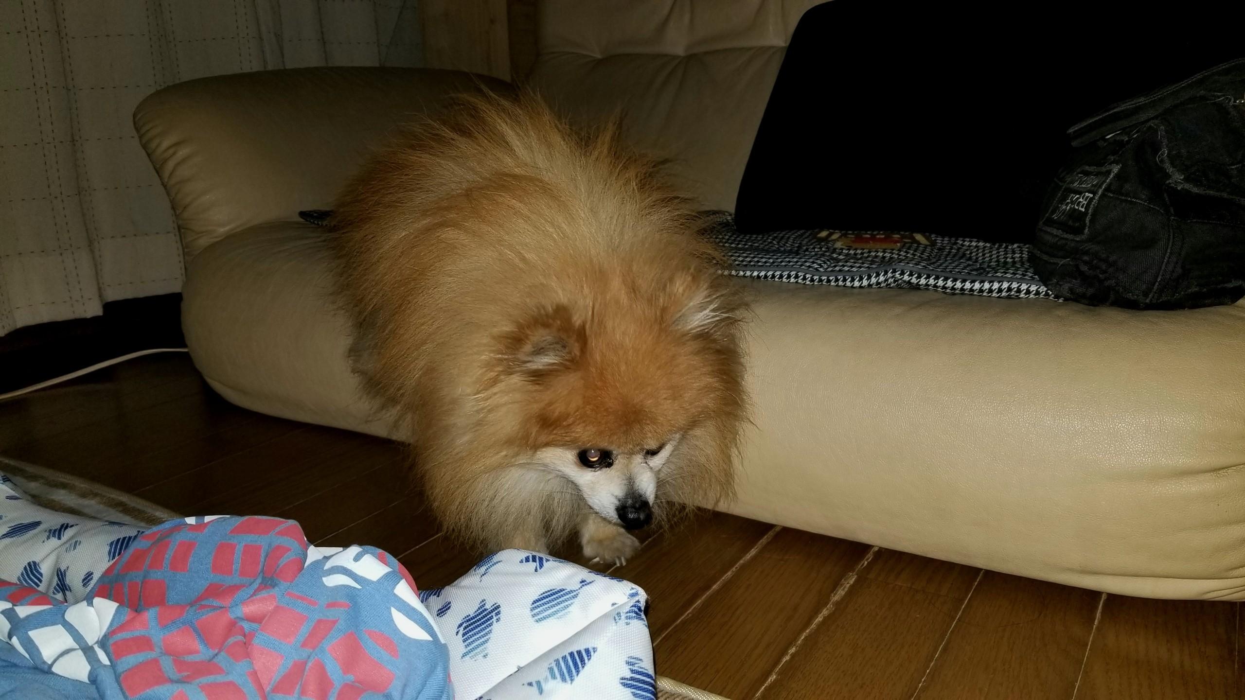 世界一かわいい動物室内小型犬,病気老化様子の変化衰弱ポメラニアン
