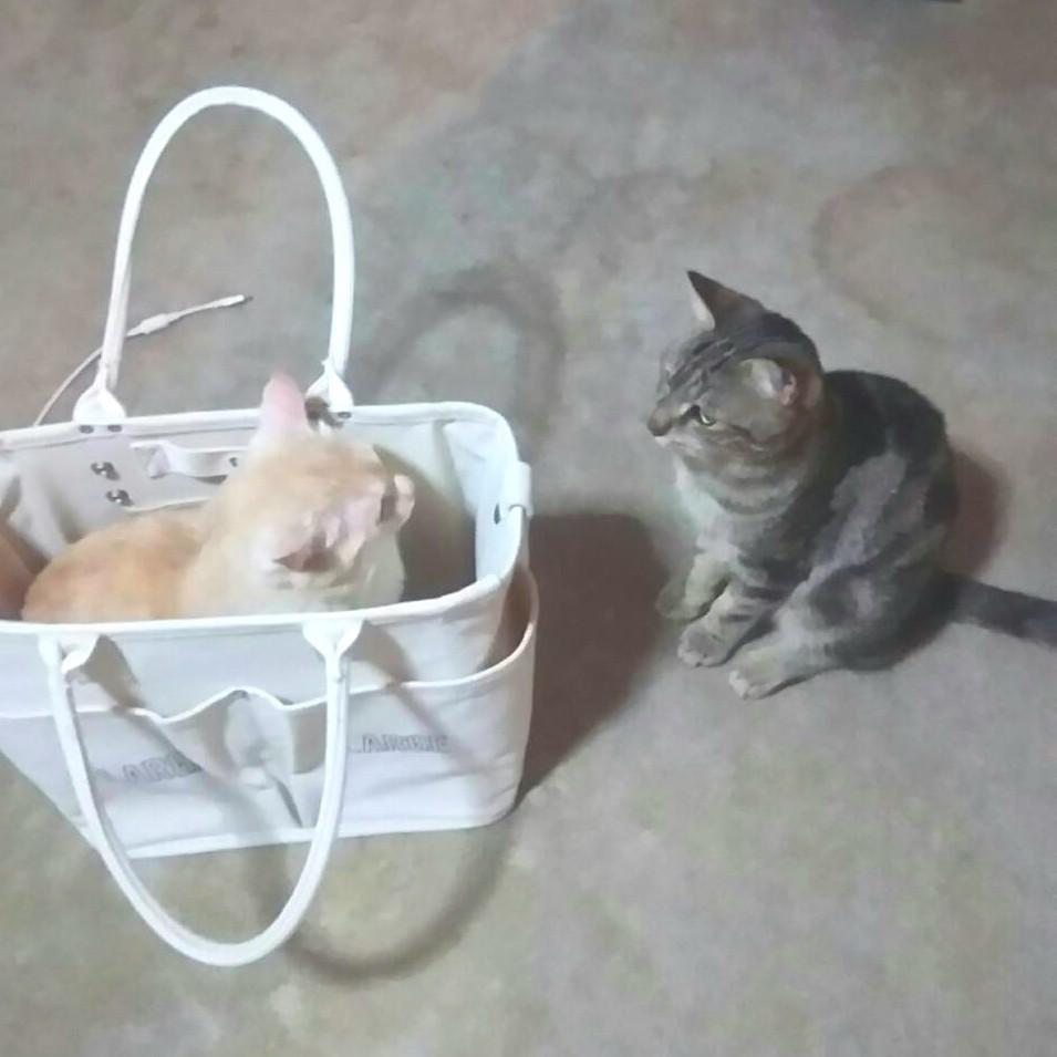 ネコのバトル,猫戦い喧嘩,かわいい面白い,取り合い,くずふにゃ