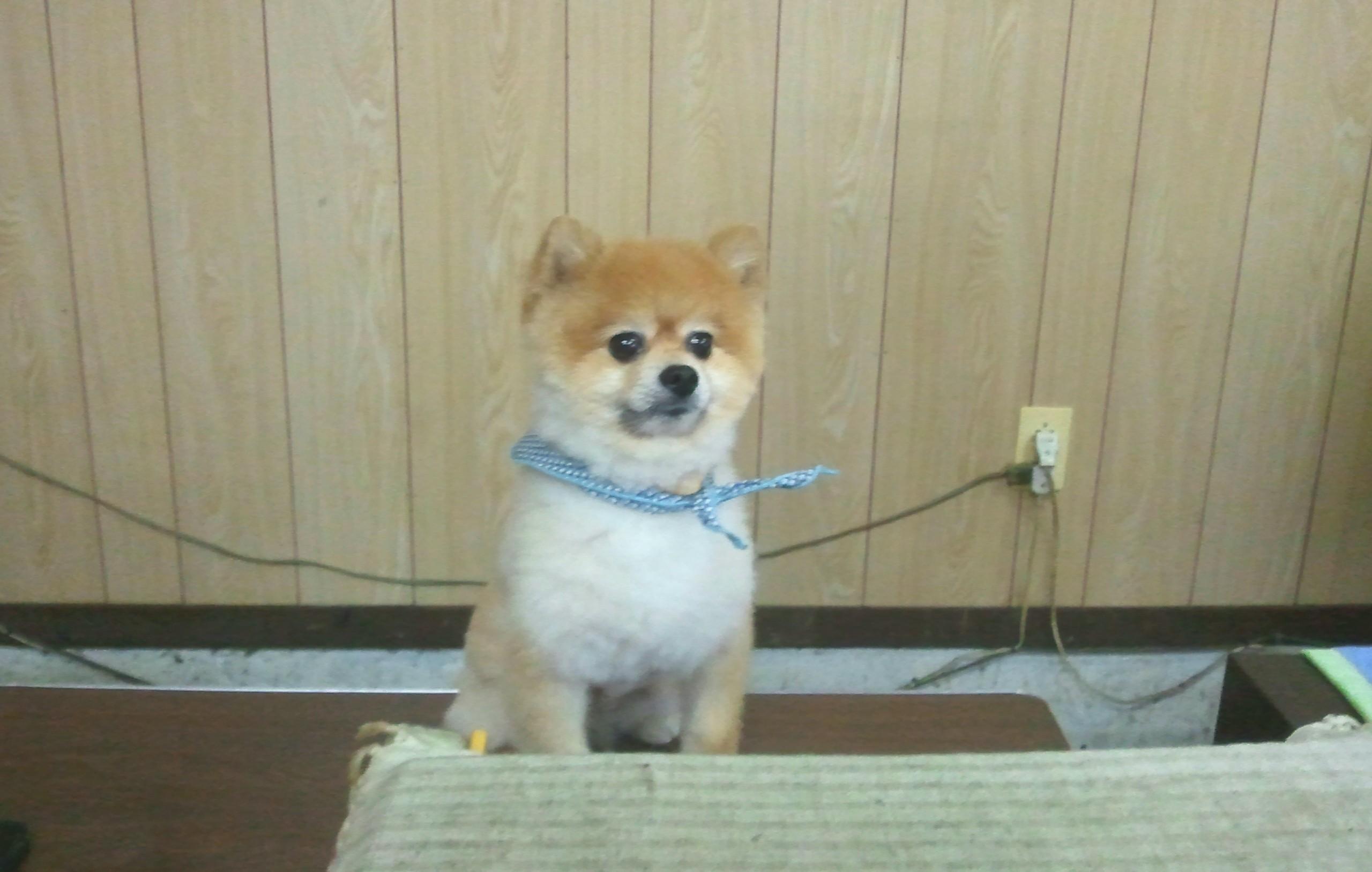 ペット,犬,ポメラニアン,もふもふ,サマーカット,柴犬カット,店番中