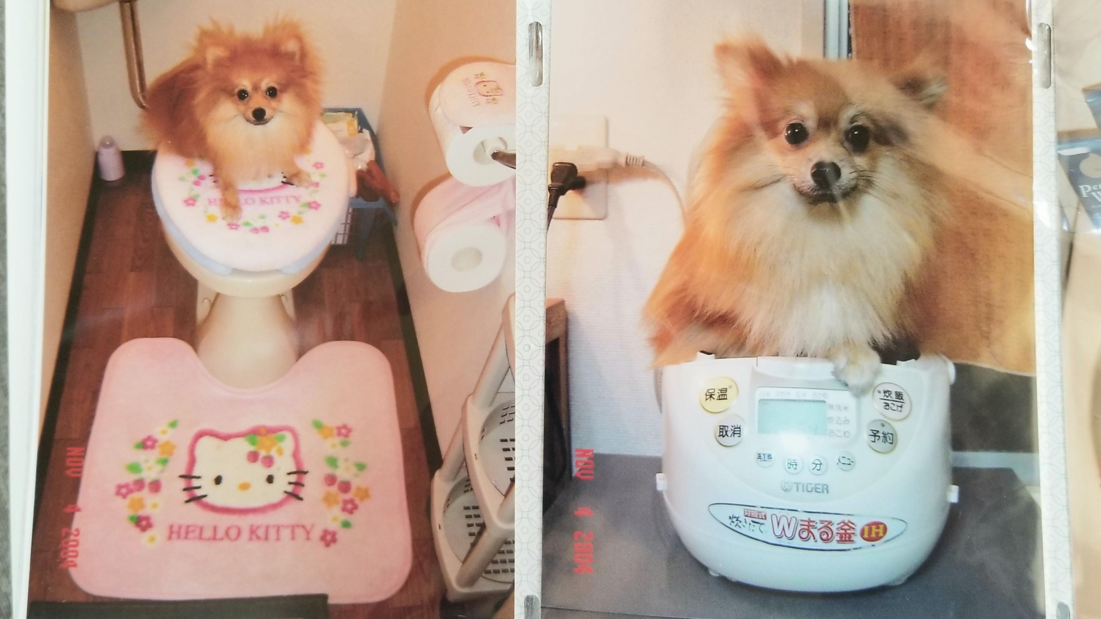 世界一可愛いポメラニアン面白い犬画像思い出の品懐かしい写真可愛