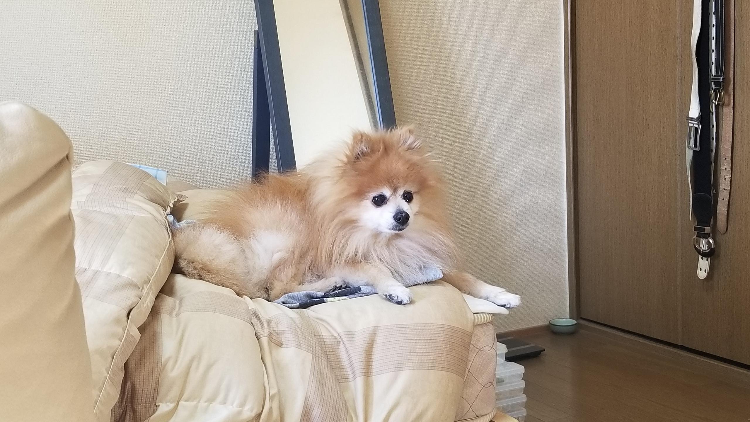 愛犬ペット,世界一かわいいポメラニアン,退屈そう,おとなしい,掃除