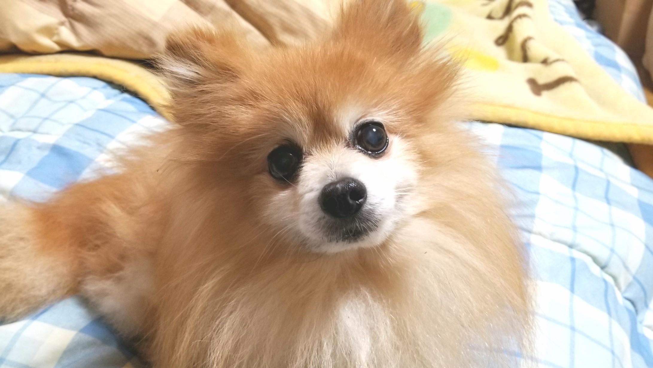 ペット愛犬の病気,血便下痢,食欲不振,かわいいポメラニアン心配