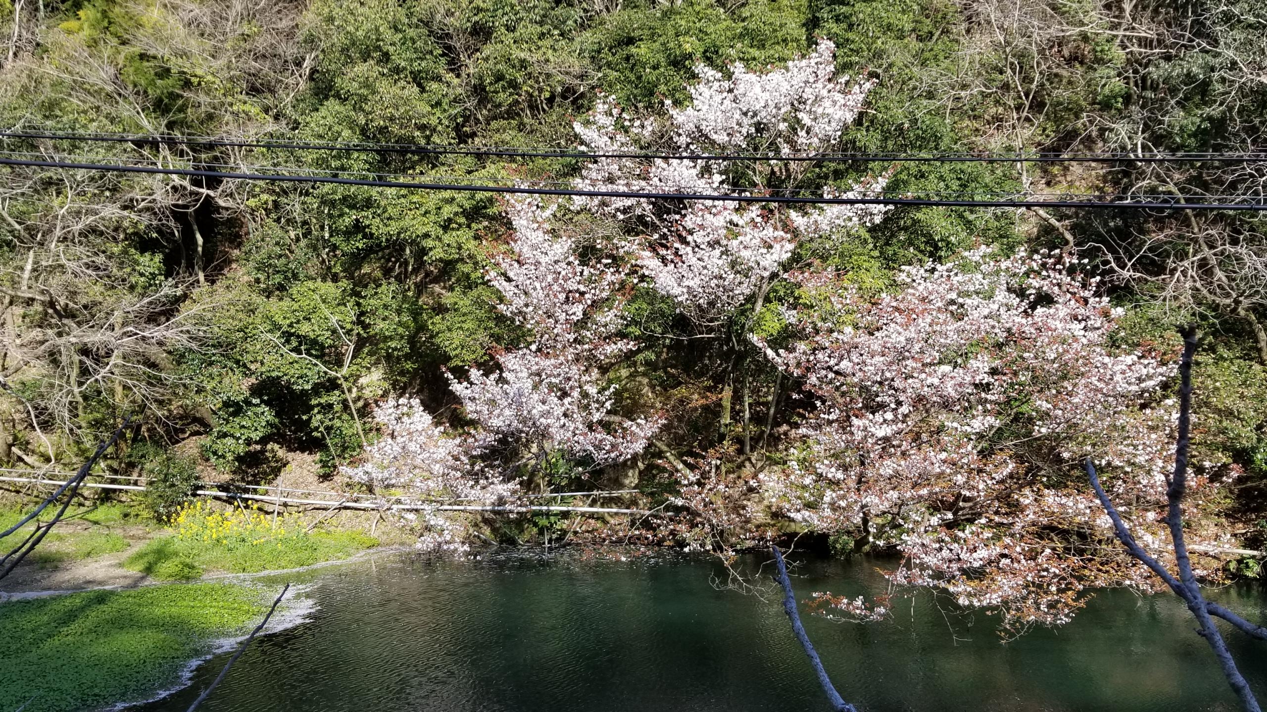 桜開花時期咲く満開ソメイヨシノ愛媛県絶景見頃3月下旬見る会