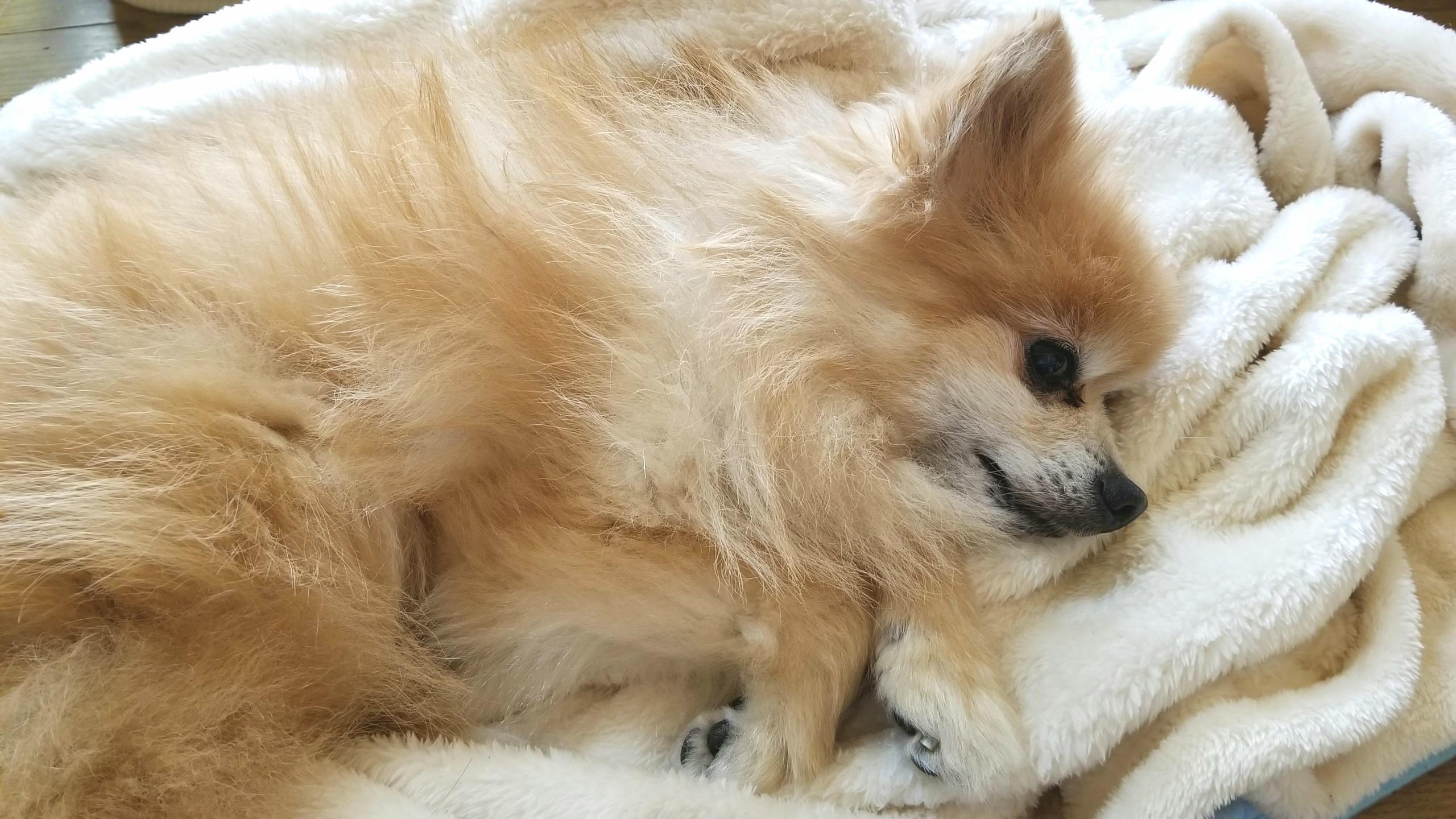 ポメラニアン,超可愛い,犬大好き,愛犬君,ペットは家族,ワンちゃん