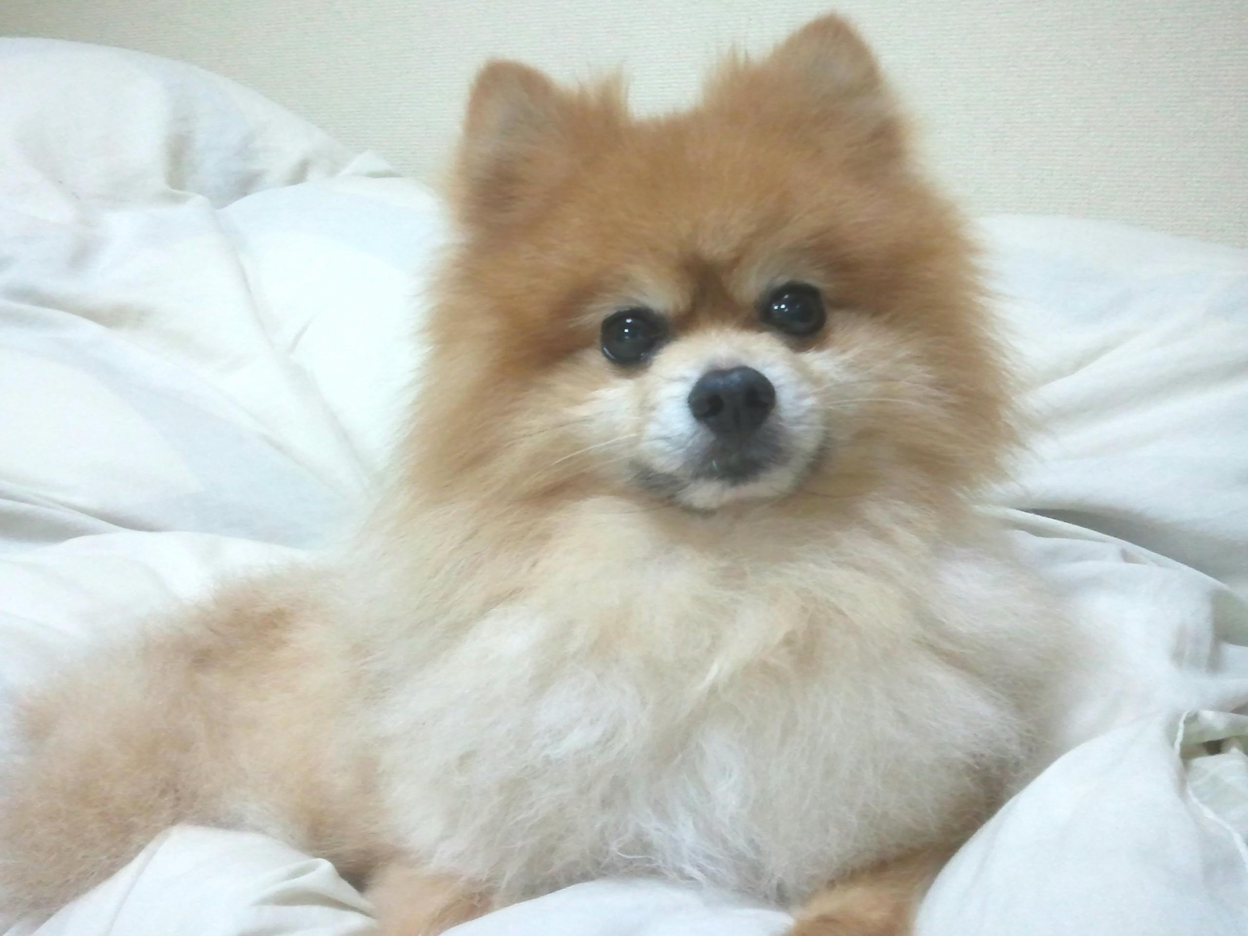 ペットのいる生活,犬,まんまる,もふもふ,ポメラニアン,人気,かわいい