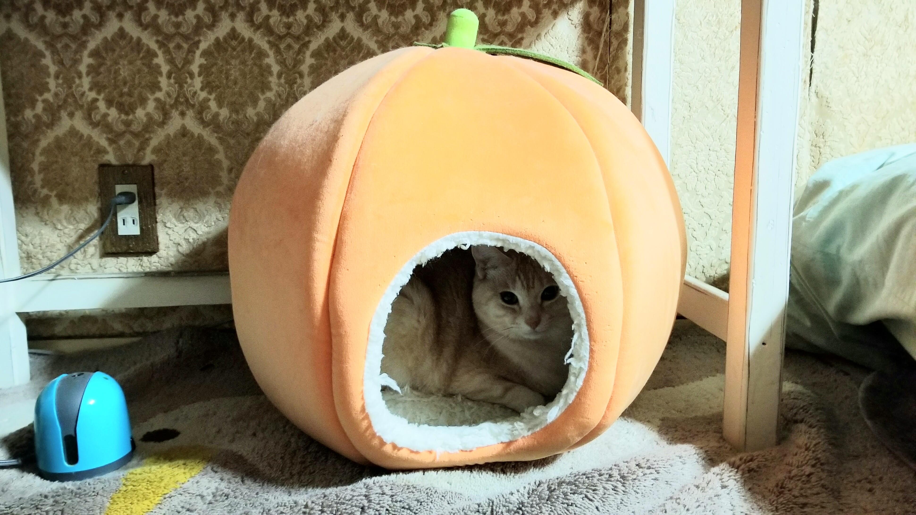 かわいい猫はこたつで丸くなる穴に入る愛媛県みかん冬寒い保護ネコ