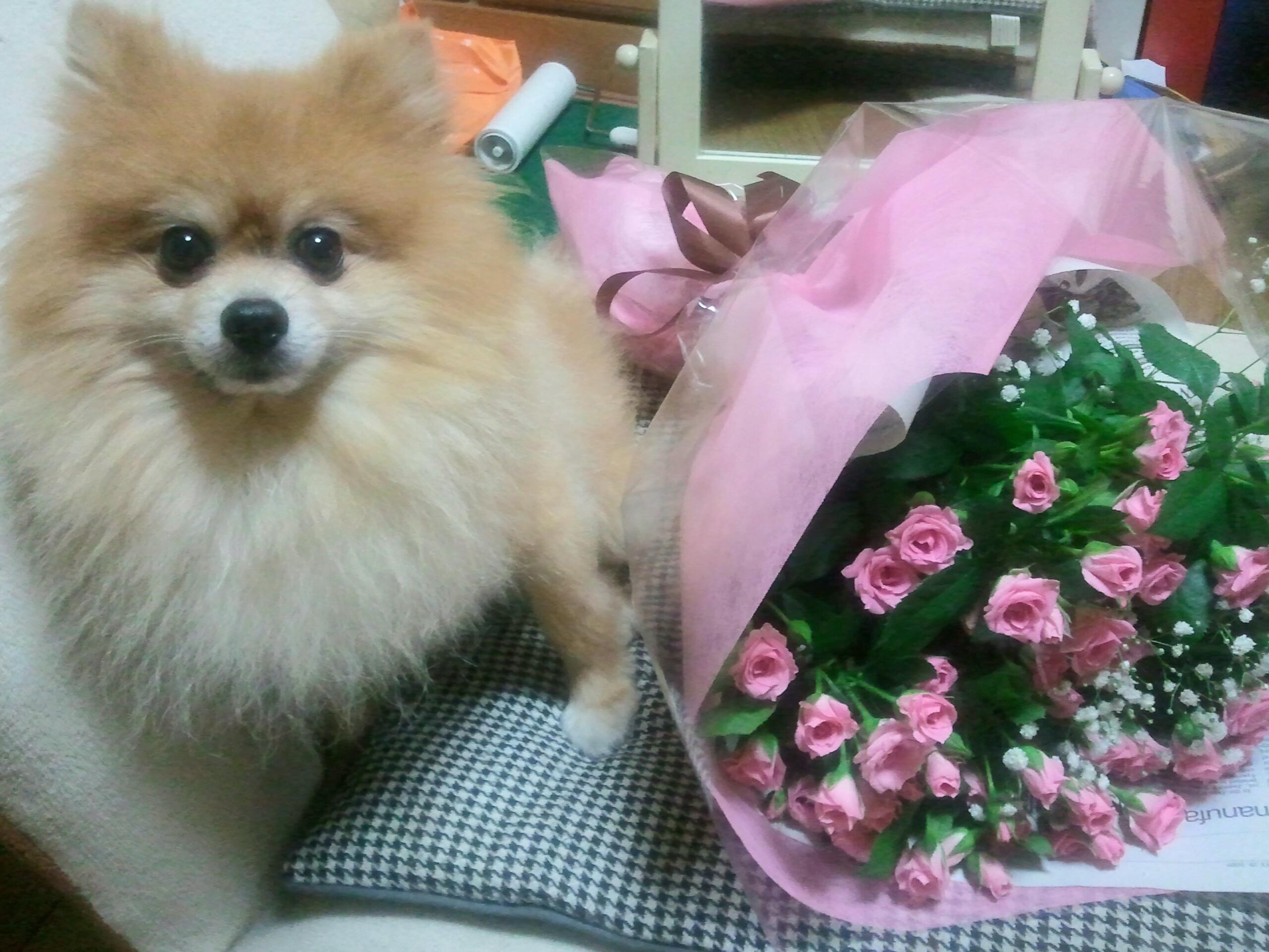 ラブワン愛犬ペットは家族かわいいポメラニアン茶色世界一人気者