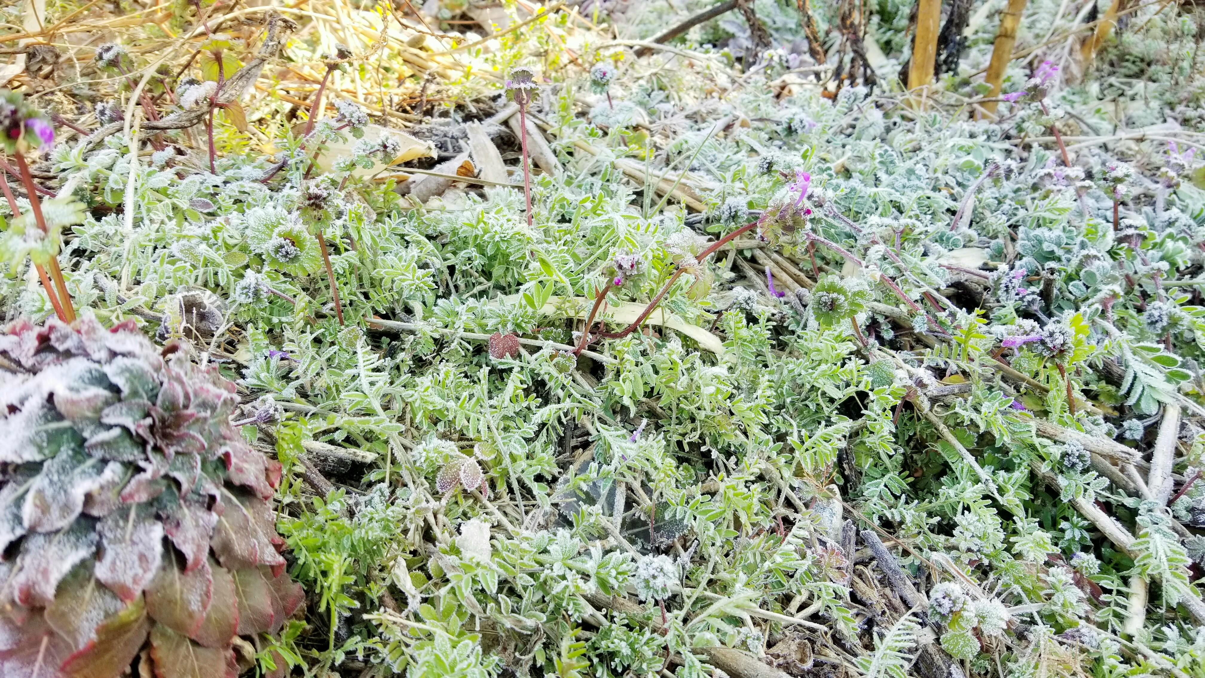 早めの春つくし山菜採り綺麗な霜雑草山遊び最高ルンルン季節もの